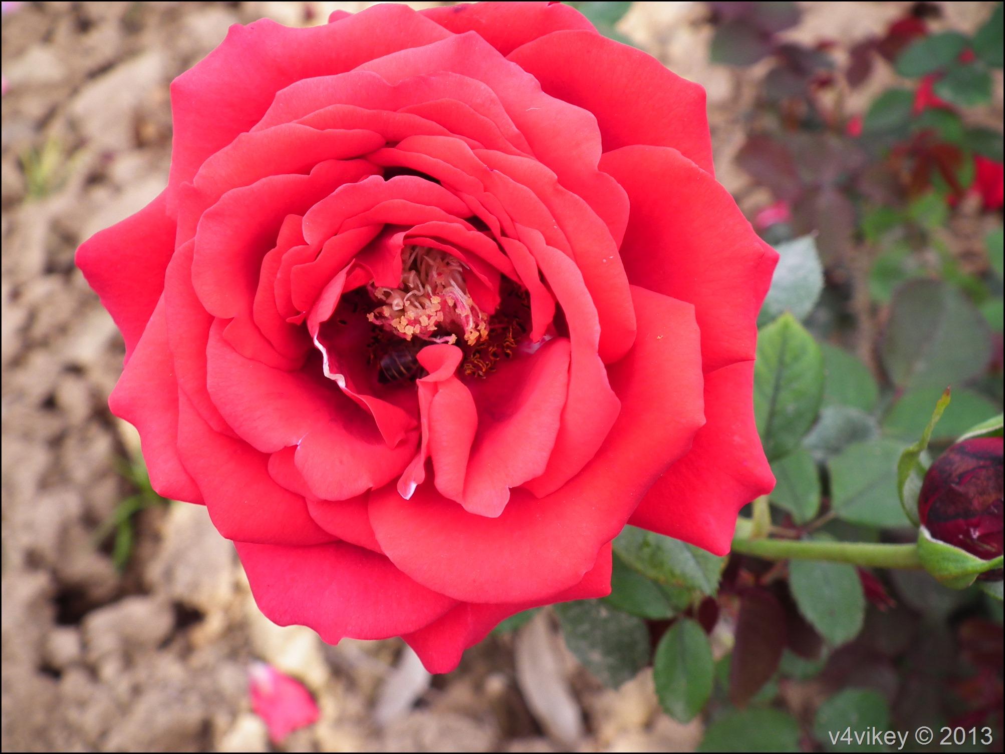 Rose Flower (24)