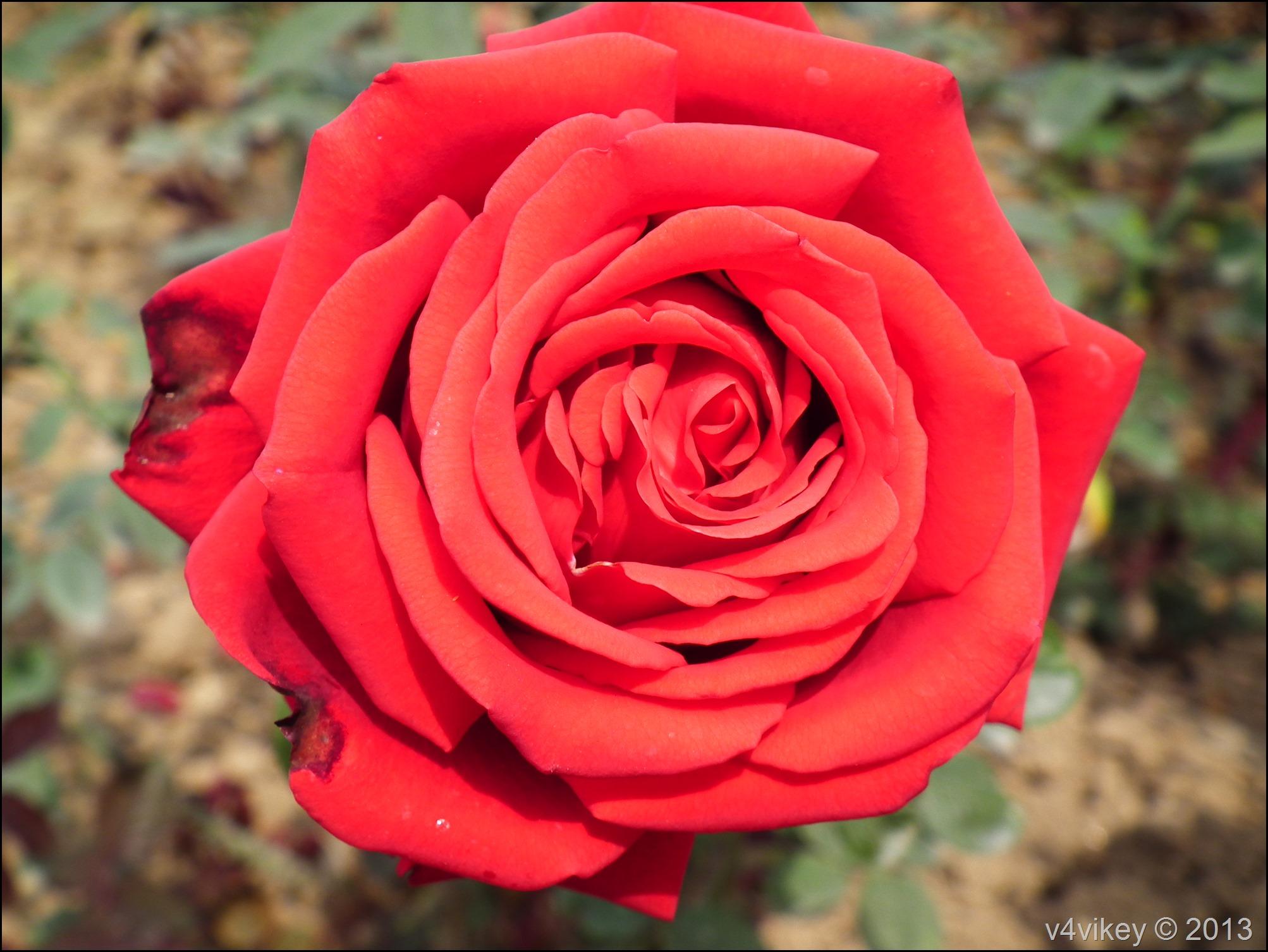 Rose Flower (26)