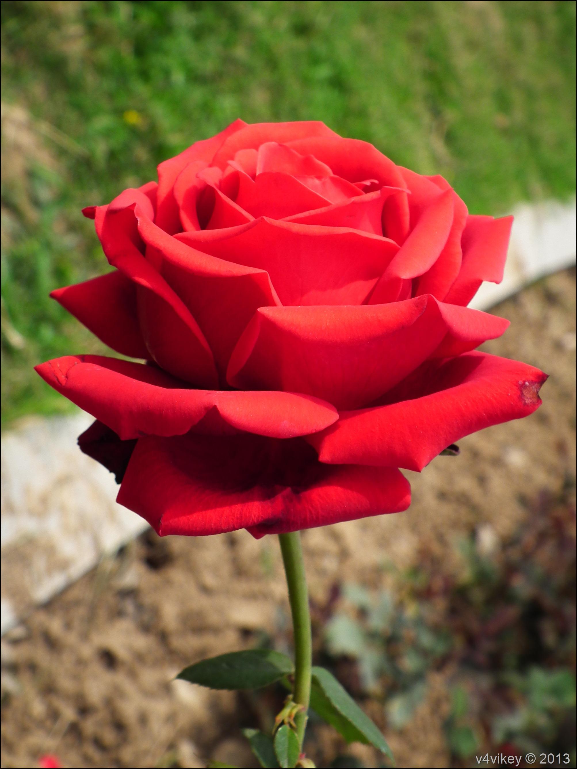 Rose Flower (30)