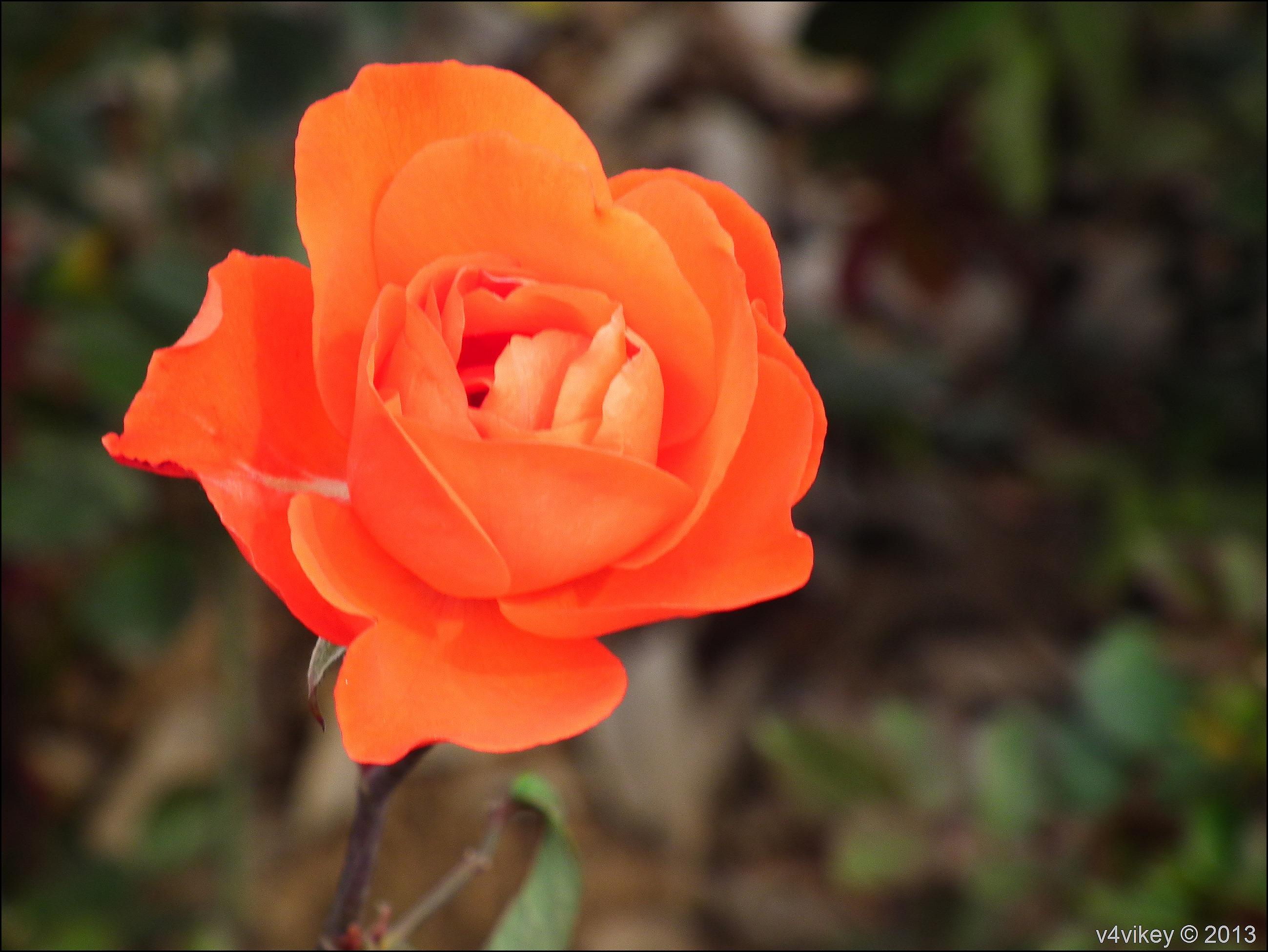 Rose Flower (3)