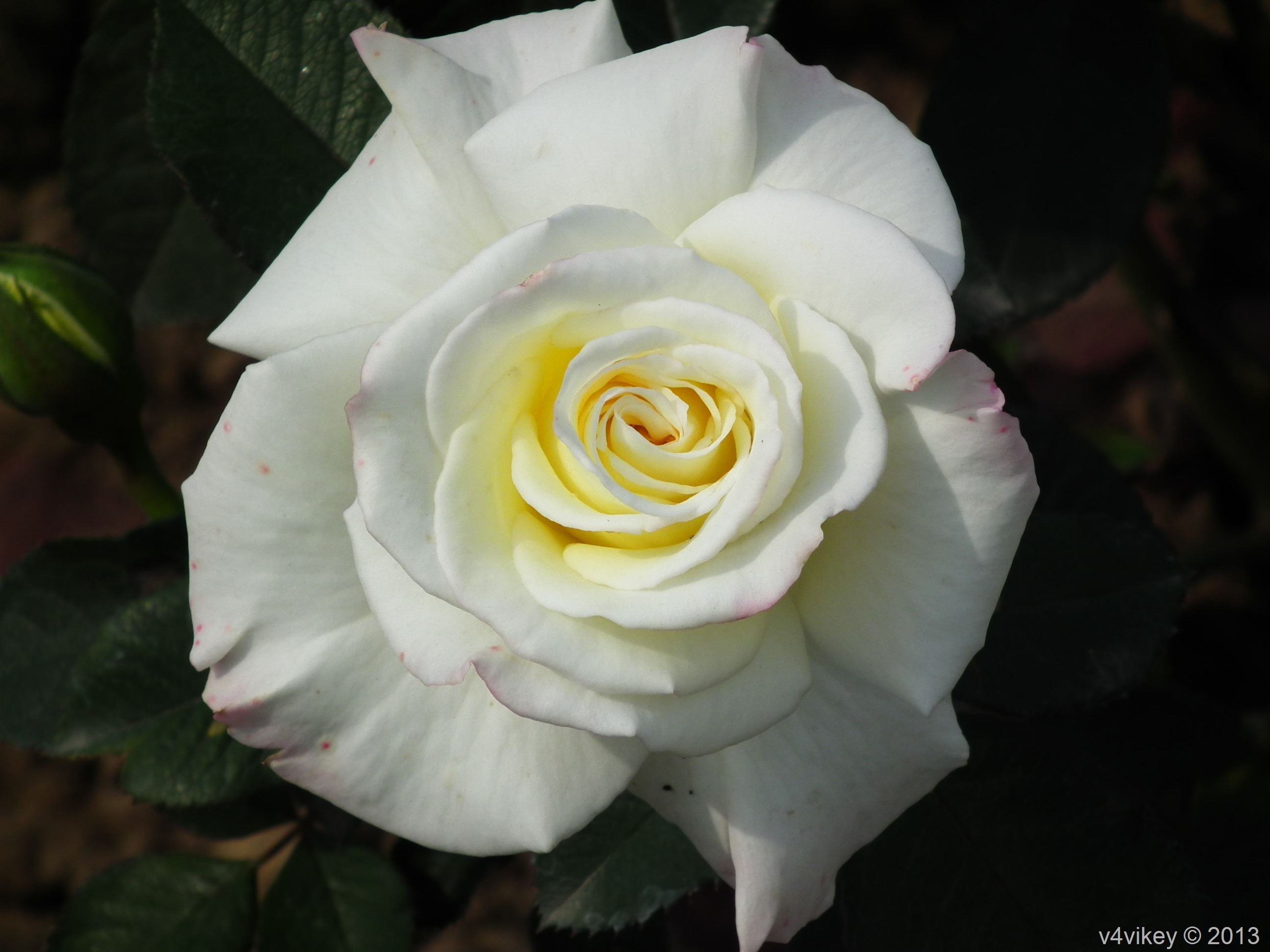 Beautiful White Rose Flowers In Different Style Wallpaper Tadka