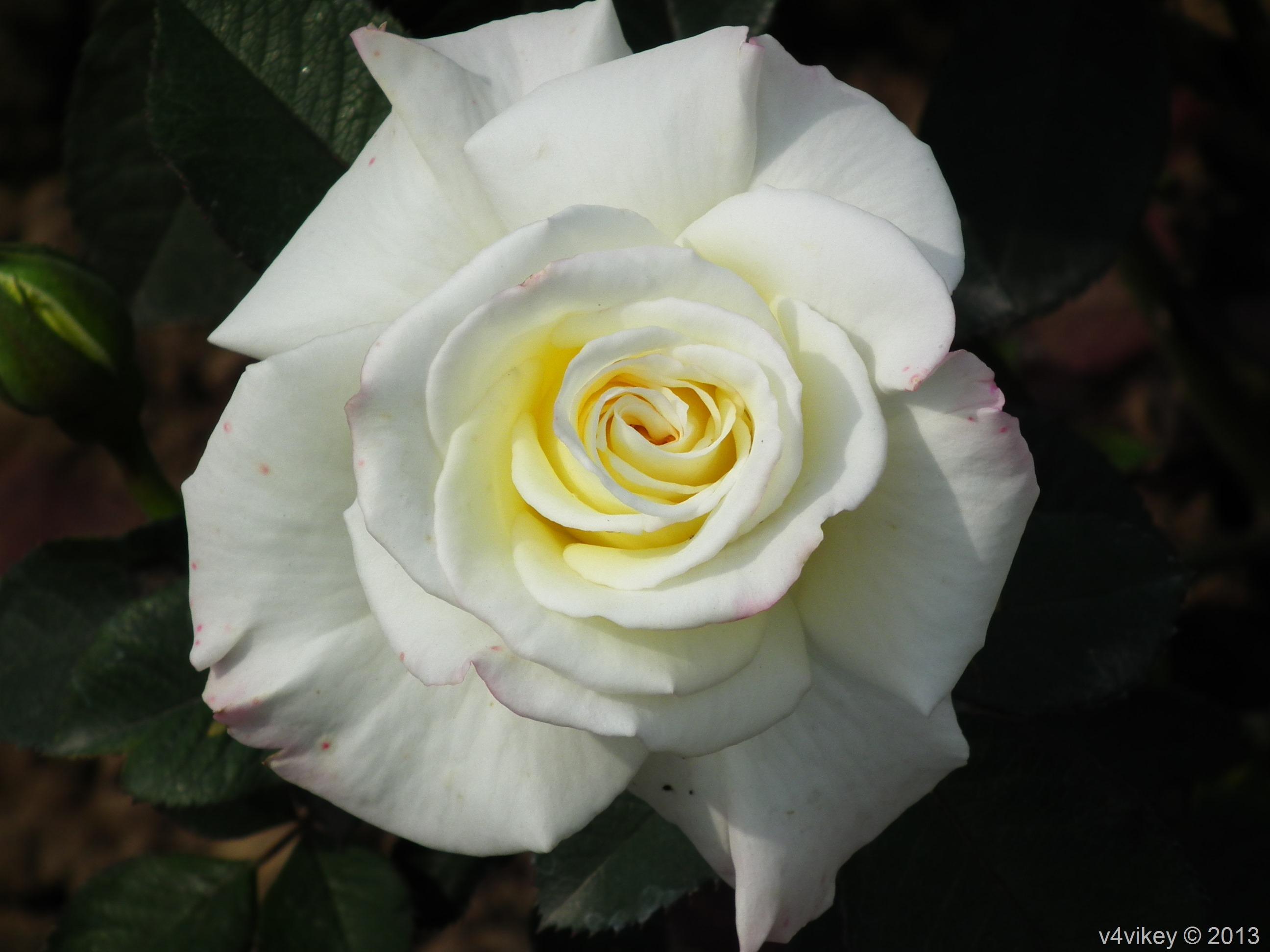 white rose flowers - photo #21