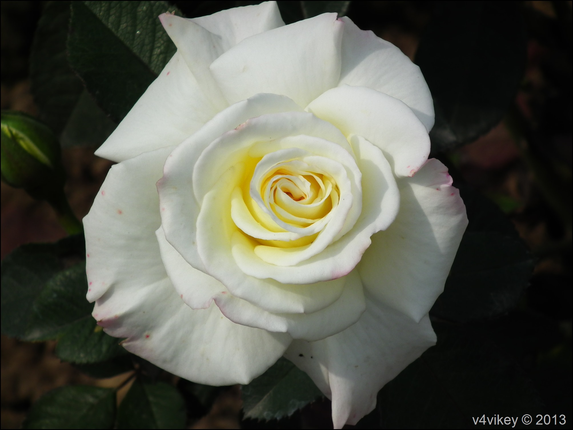 White Rose Flowers