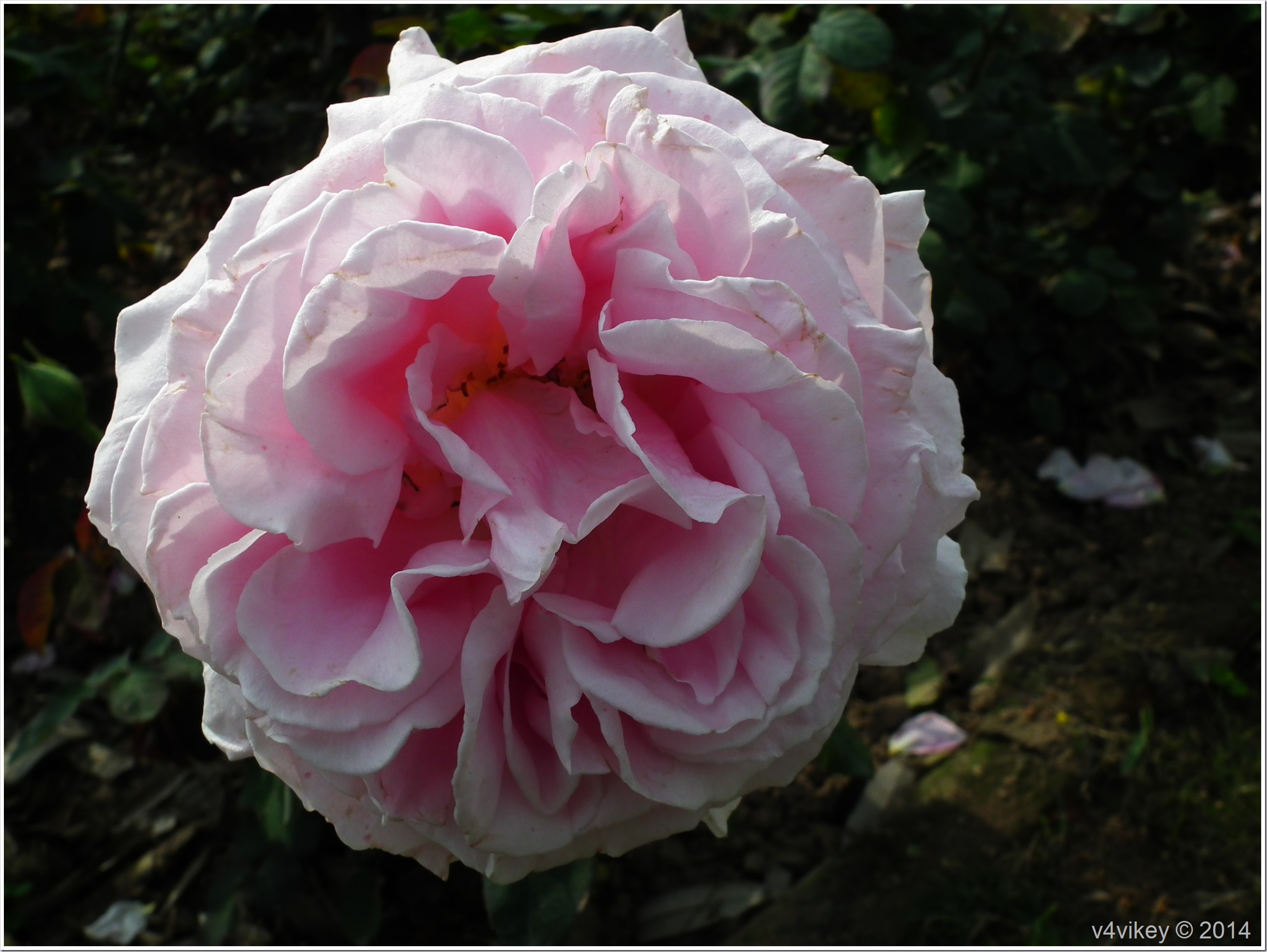 Pink White Rose Flower