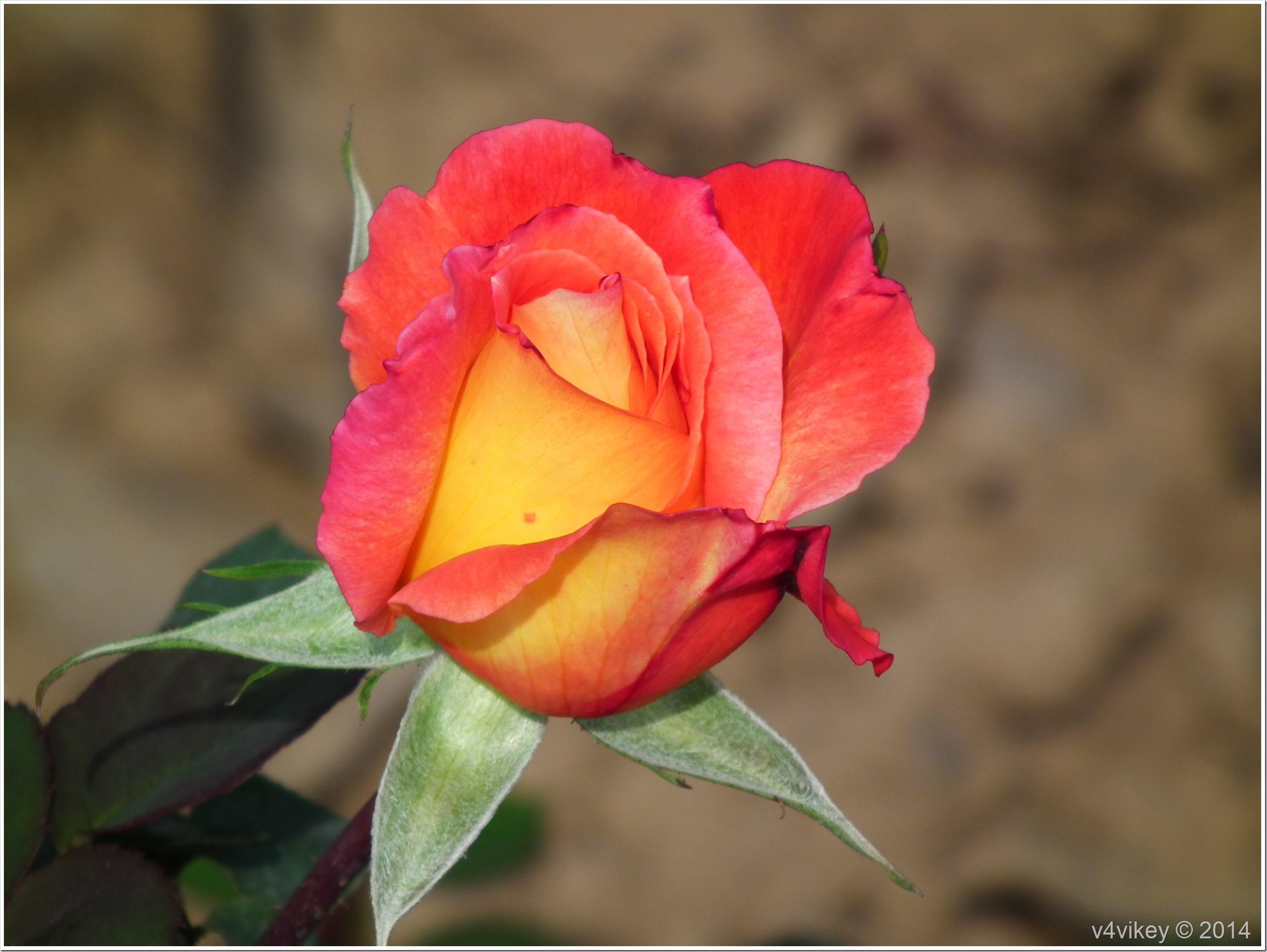 Rose Flower (93)
