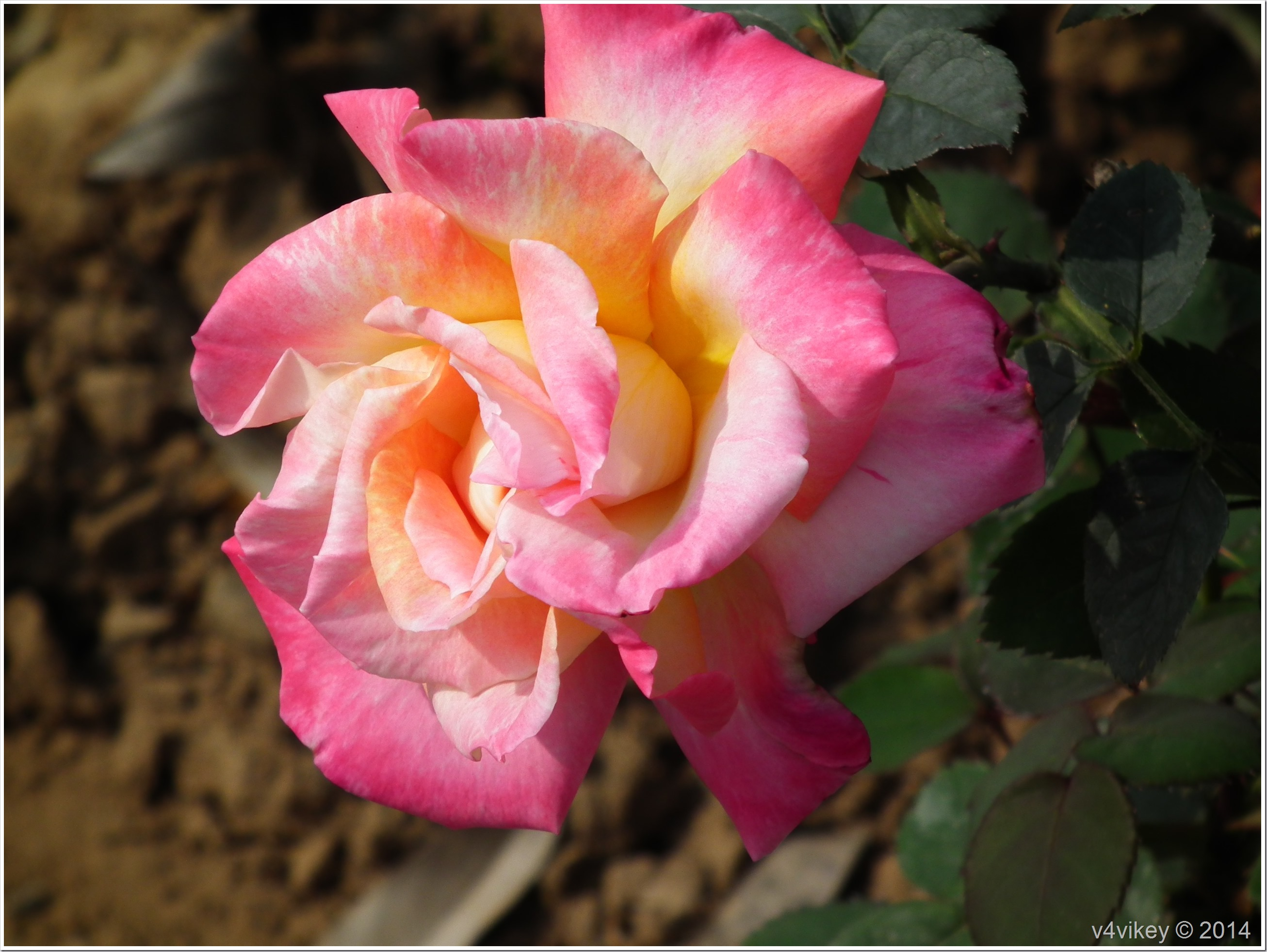 Yellow Shaded Pink Rose