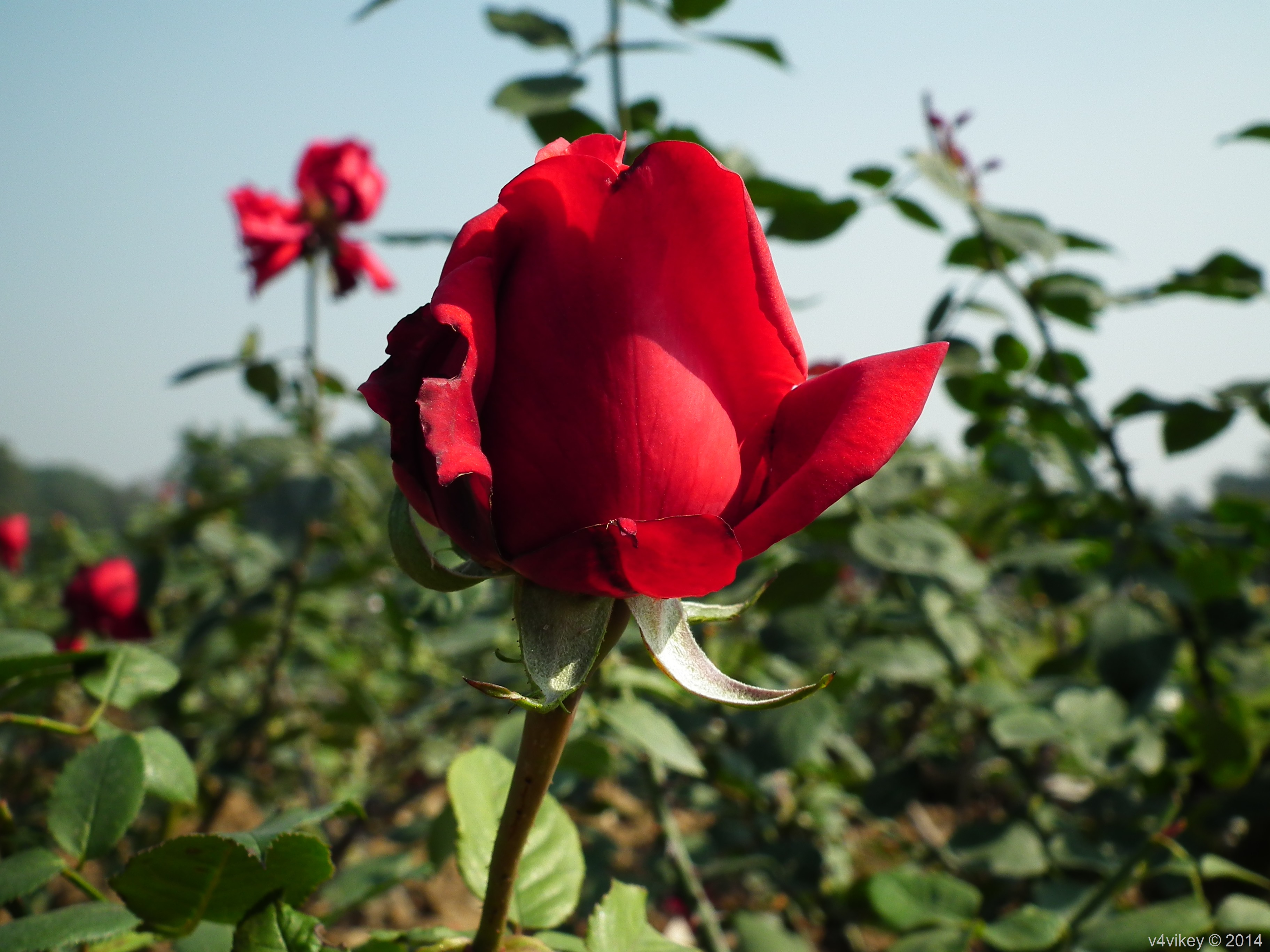 Ten Different Type Of Rose Flowers In Different Colors Wallpaper Tadka