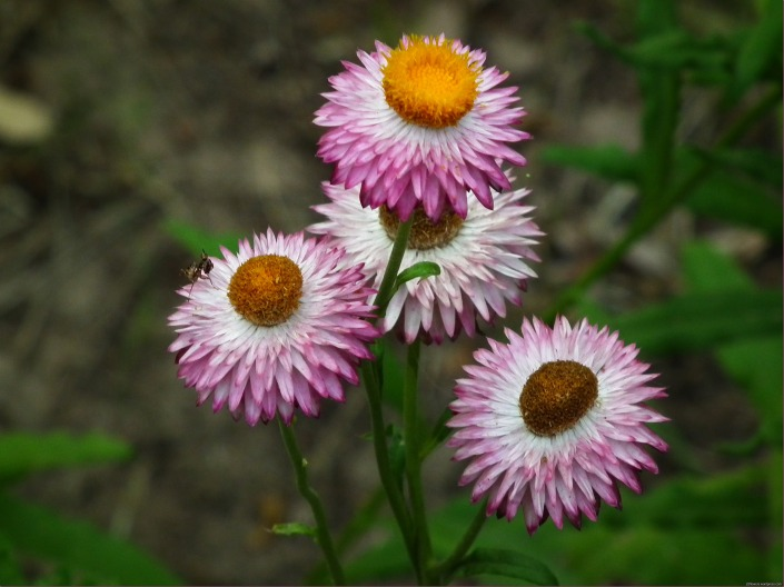 Pink Daisy Chrysanthemum Flowers