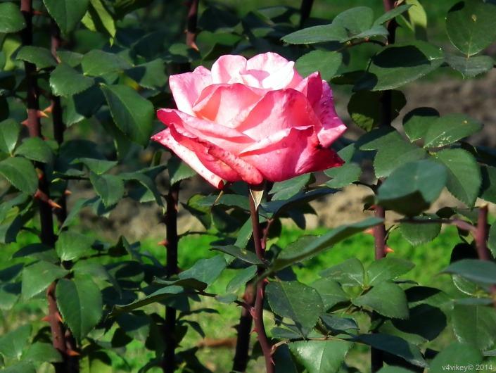 Rose-Flowers-71-001.jpg