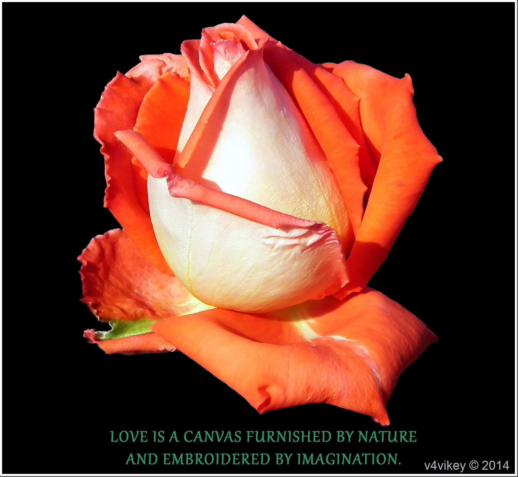 Orange Rose Flower Wallpaper With Quote