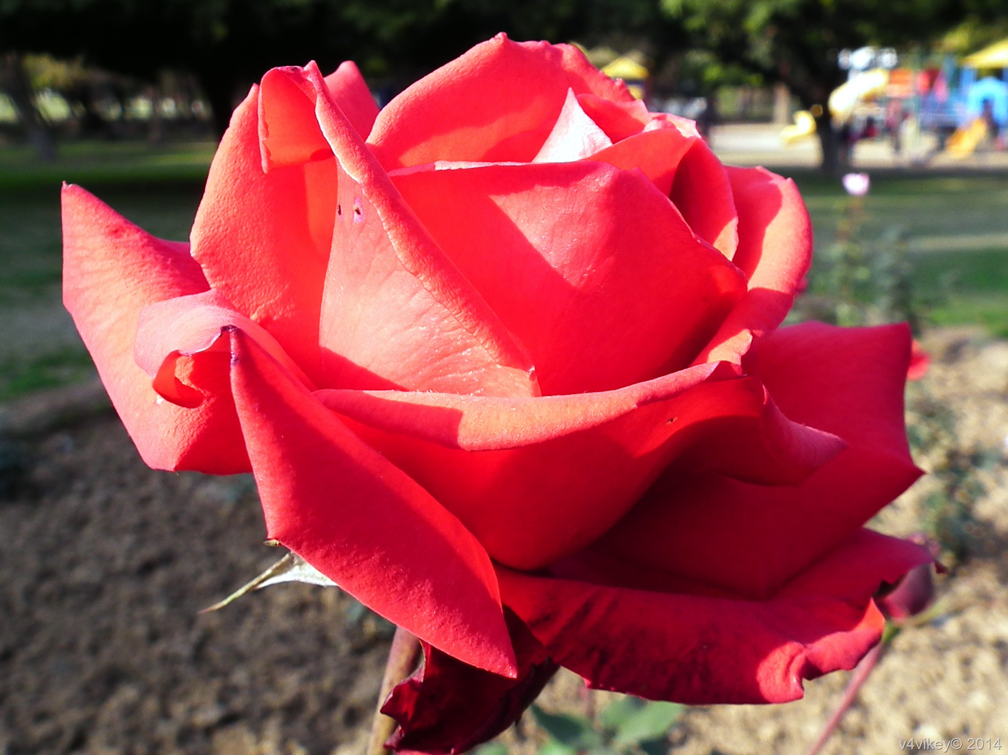 Red Rose Flower Meaning Wallpaper Tadka