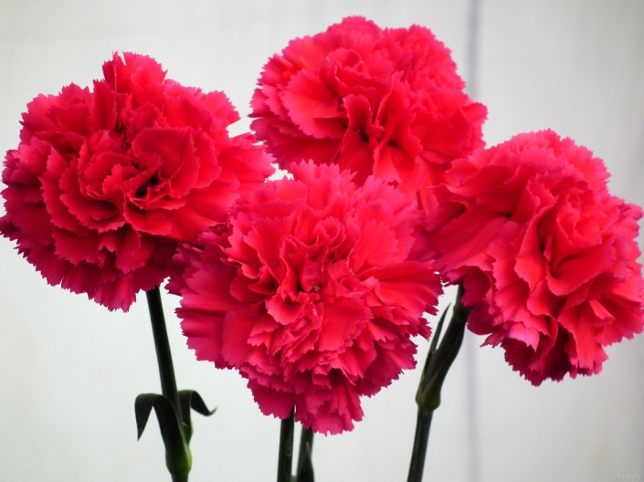 Red Color Carnation Flowers Wallpaper