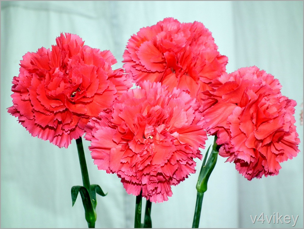 Bunch of Carnation Flower