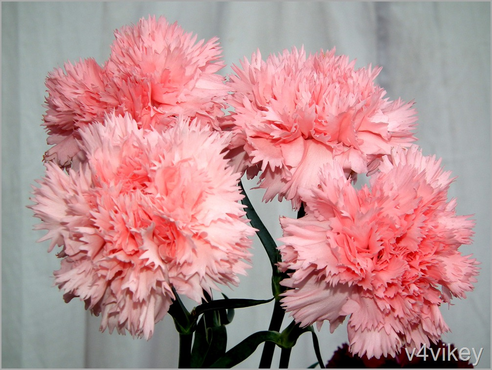 Pink Carnation Flowers Wallpaper