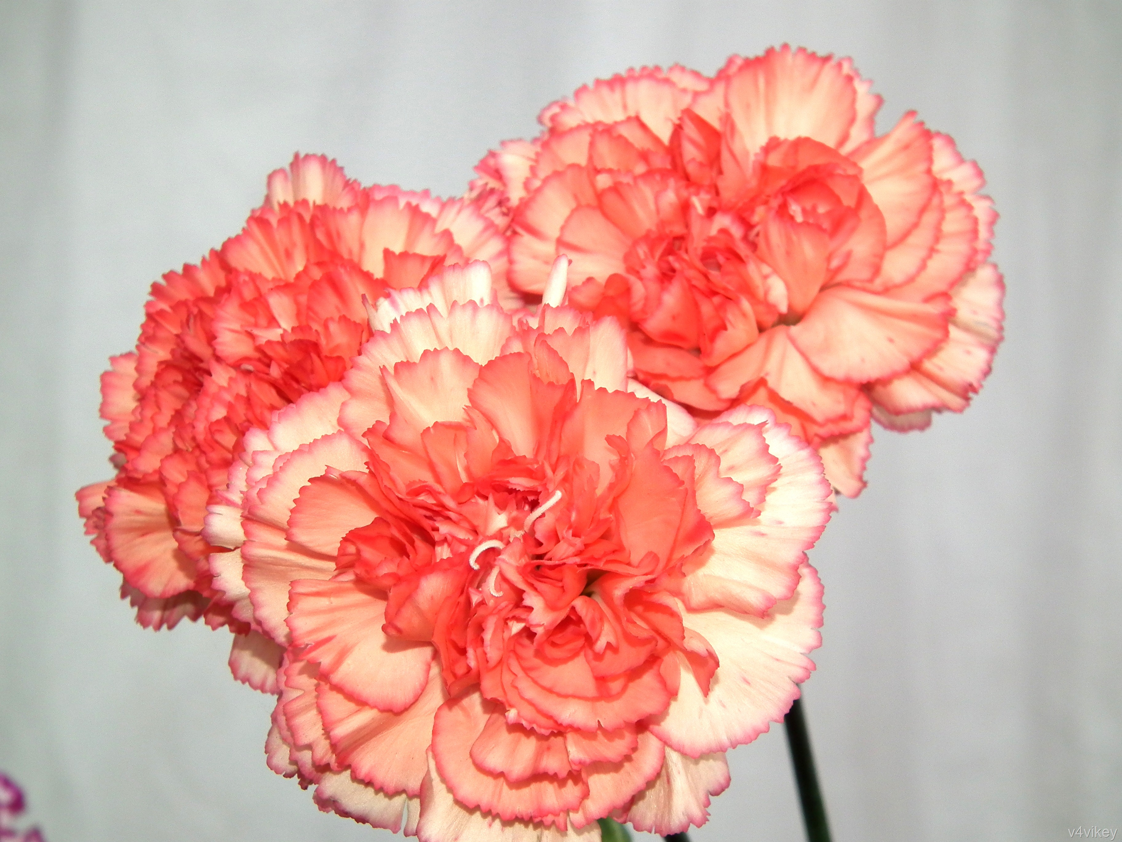 Peach Color Carnation Flowers « Wallpaper Tadka