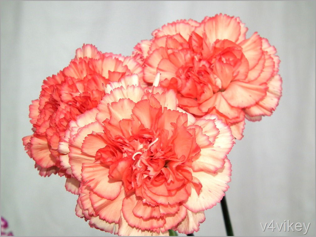 Peach Color Carnation Flowers