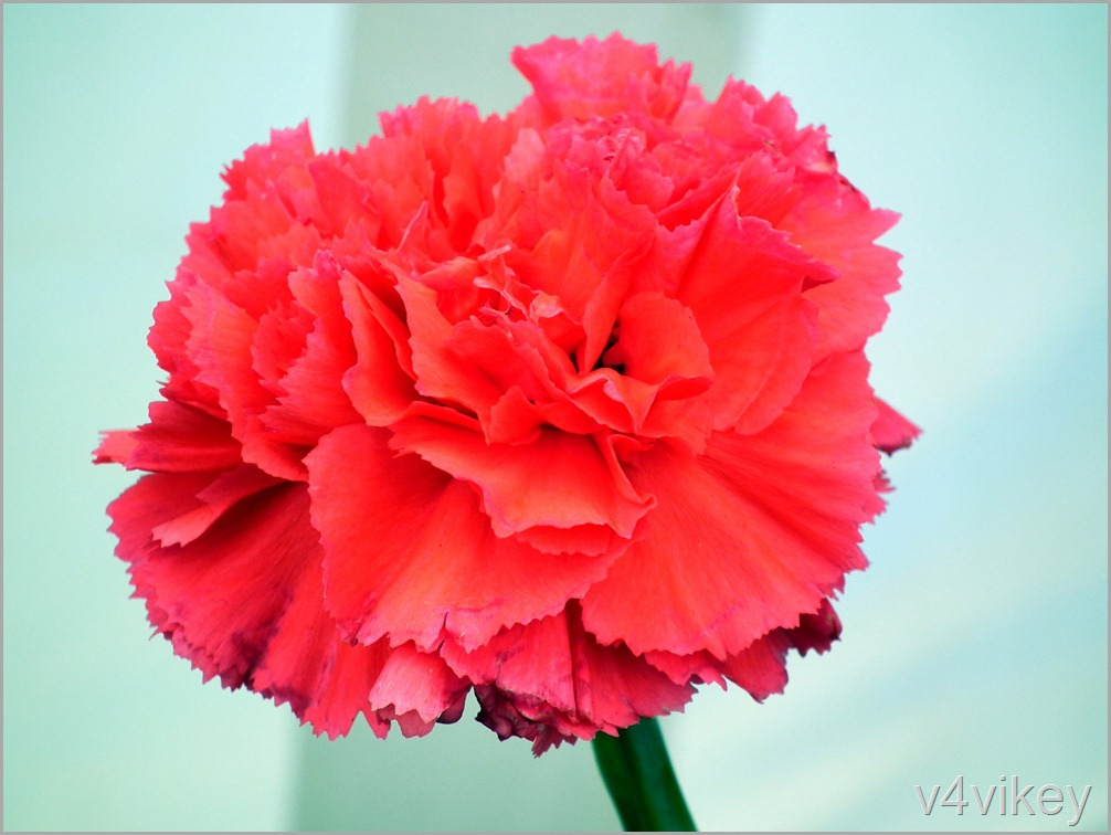 Bright Red  Color Carnation Flower