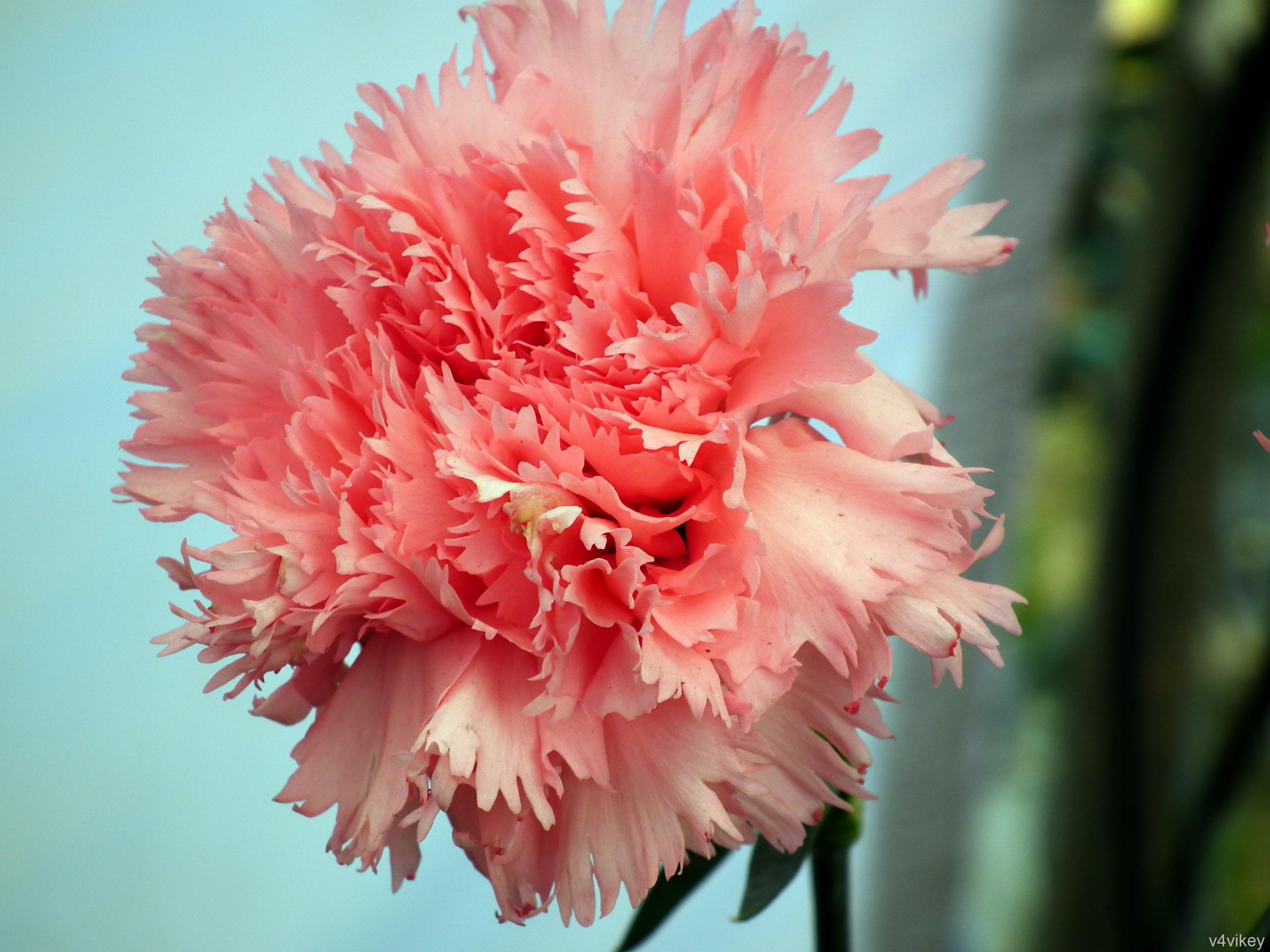 8bf453617622 Light Pink Carnation Flower Wallpaper