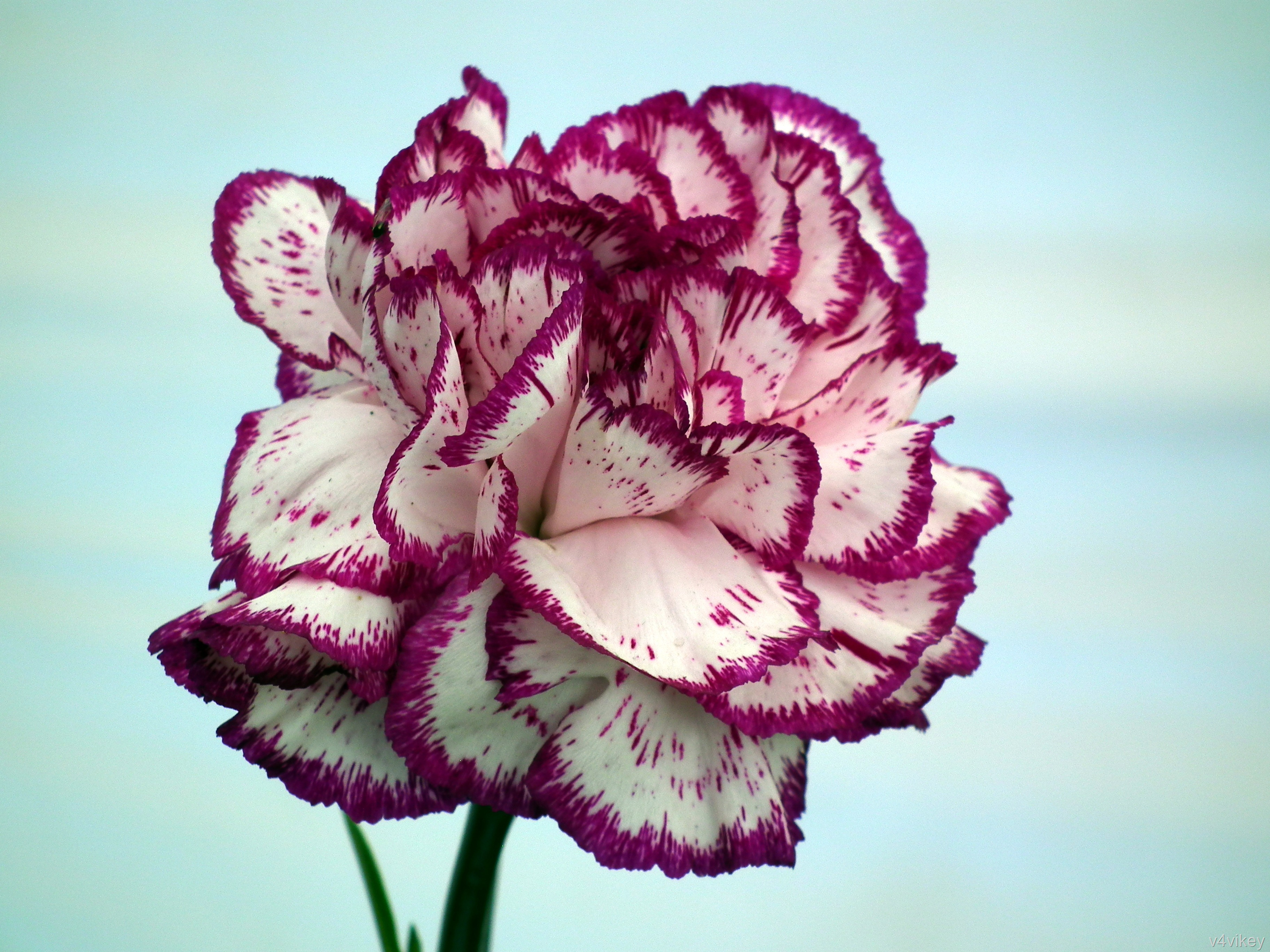 Types of carnation flower wallpaper tadka large flowered carnations mightylinksfo