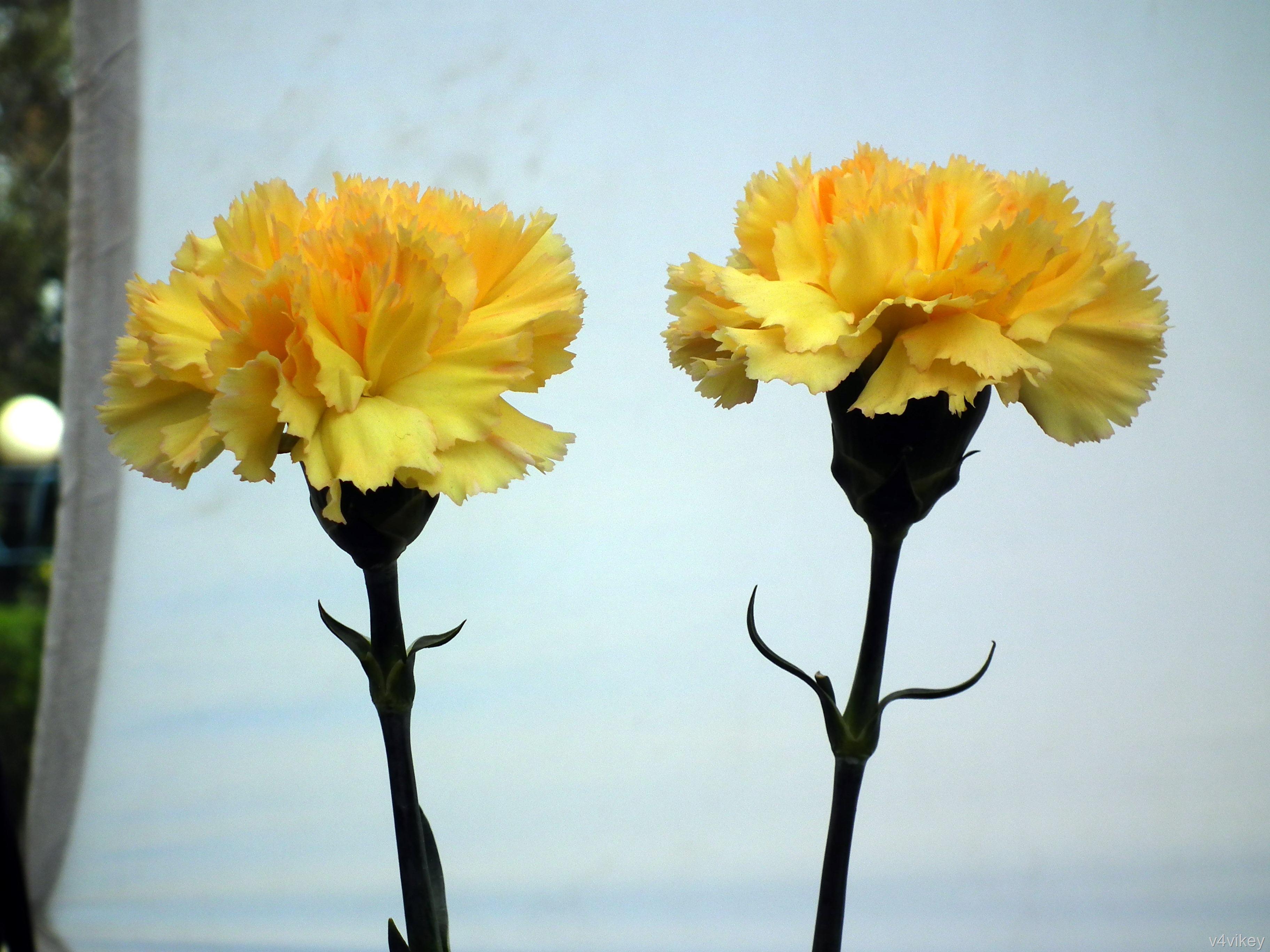 Yellow carnations wallpaper tadka yellow carnation flowers mightylinksfo