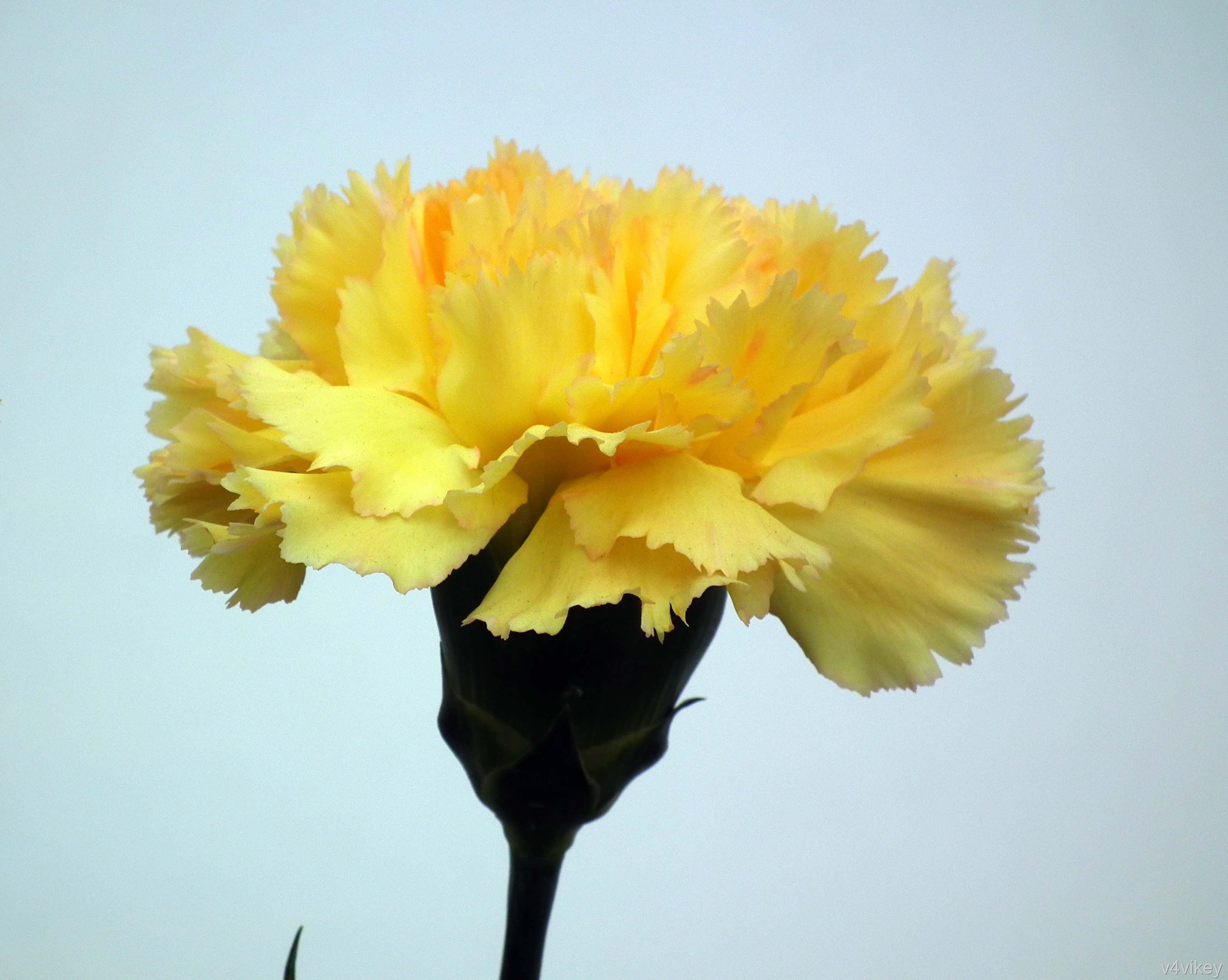 Meaning of yellow carnation flower wallpaper tadka yellow carnation flower mightylinksfo