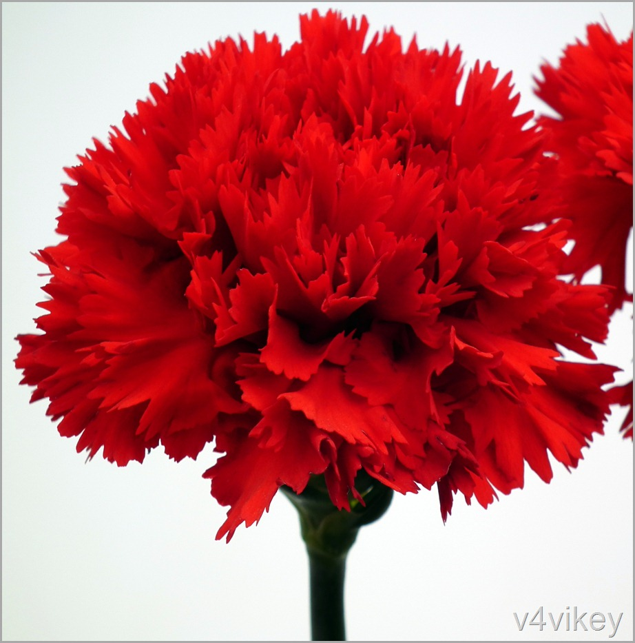 Beautiful Red Carnation Flower