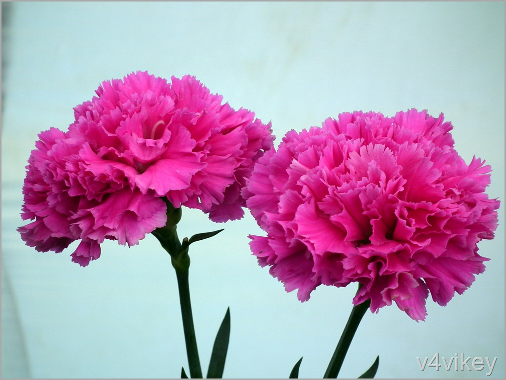 Beautiful Pink Carnation Flower