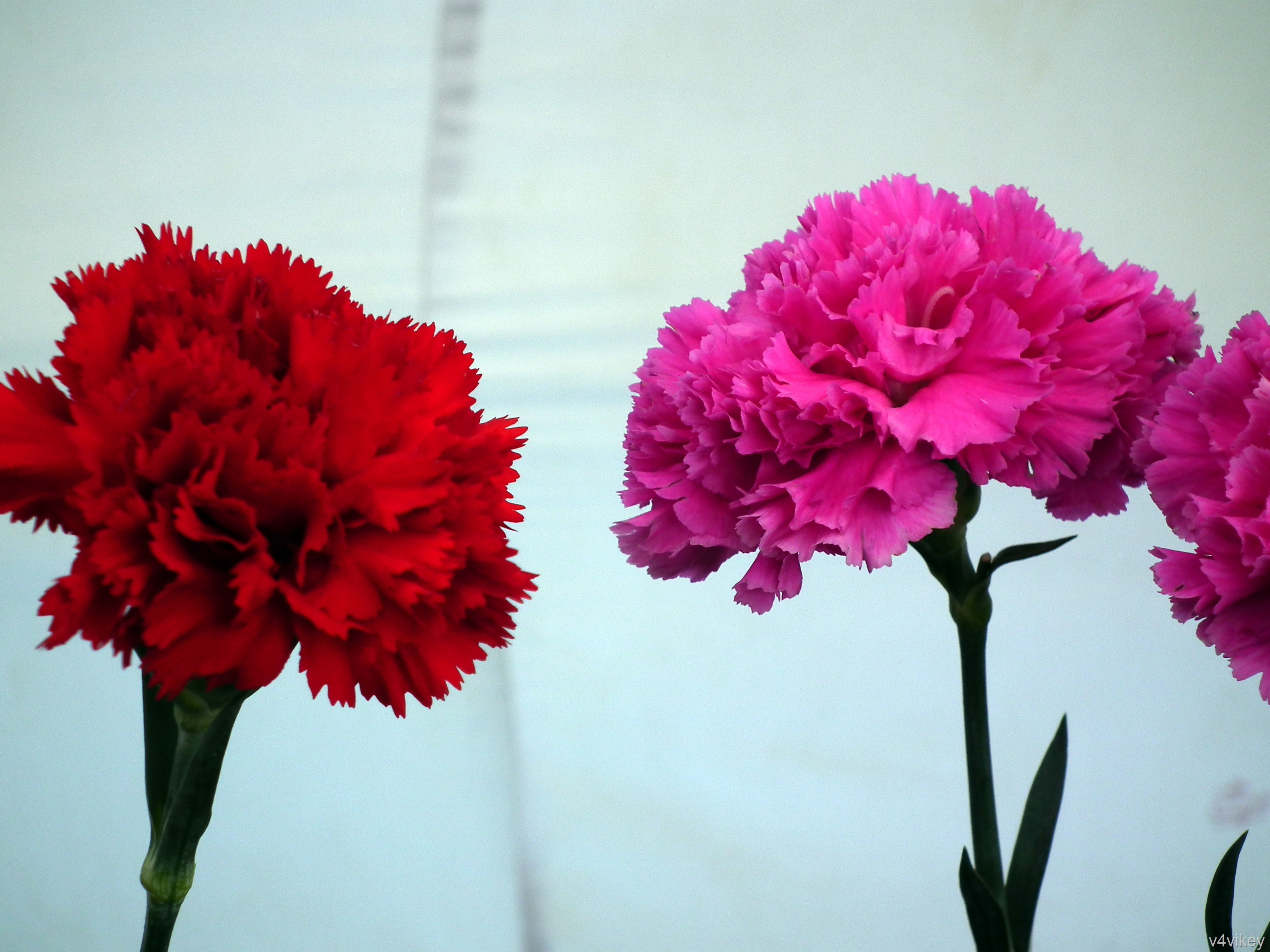 Two Carnation Flowers Wallpaper Tadka