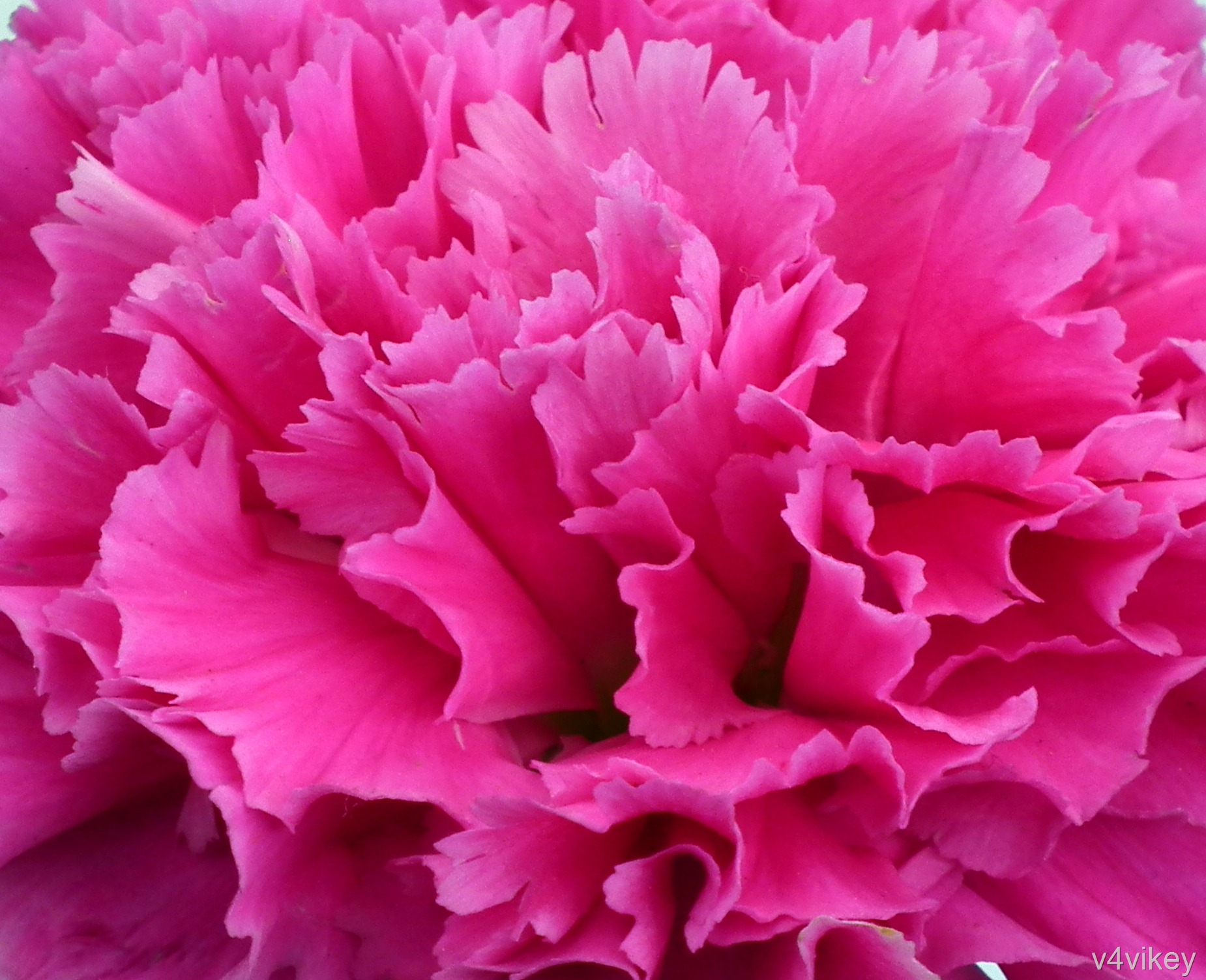 Deep pink carnation wallpaper tadka pink carnation flower mightylinksfo