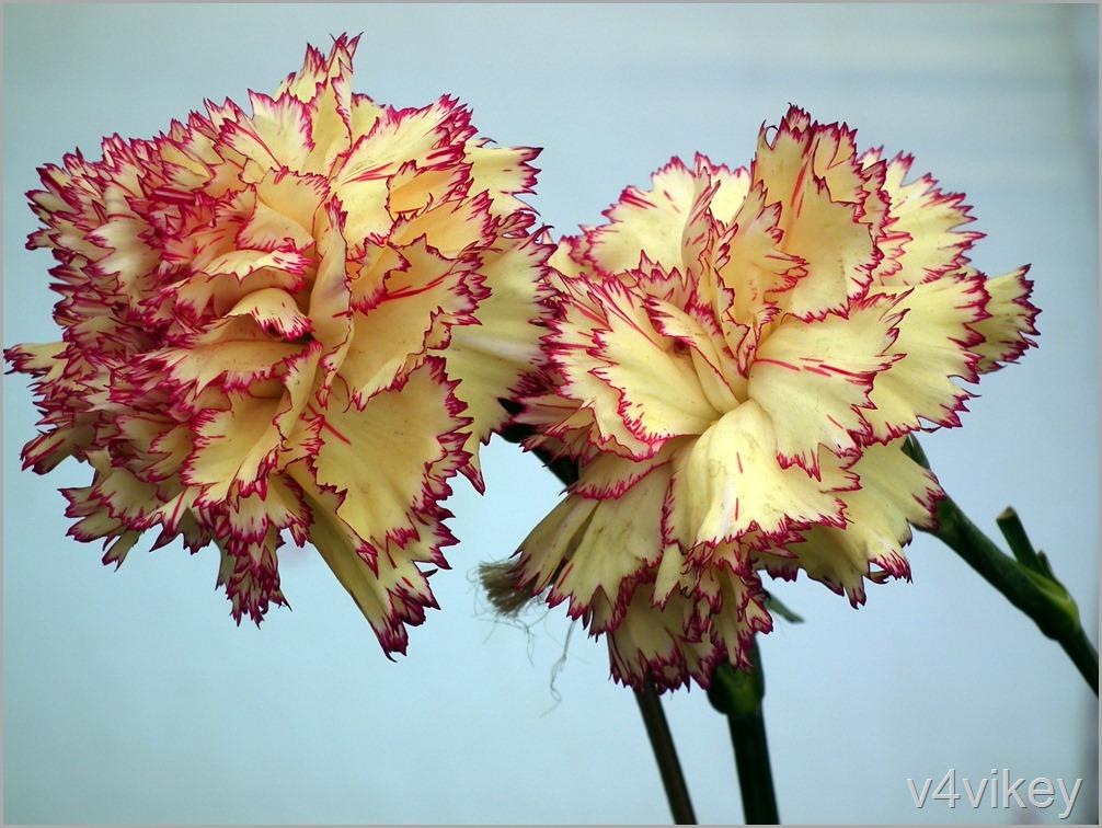 Yellow Pink Carnation Flower Wallpaper
