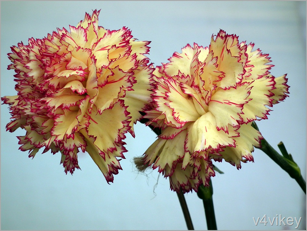 Yellow Pink Carnation Flower Wallpaper