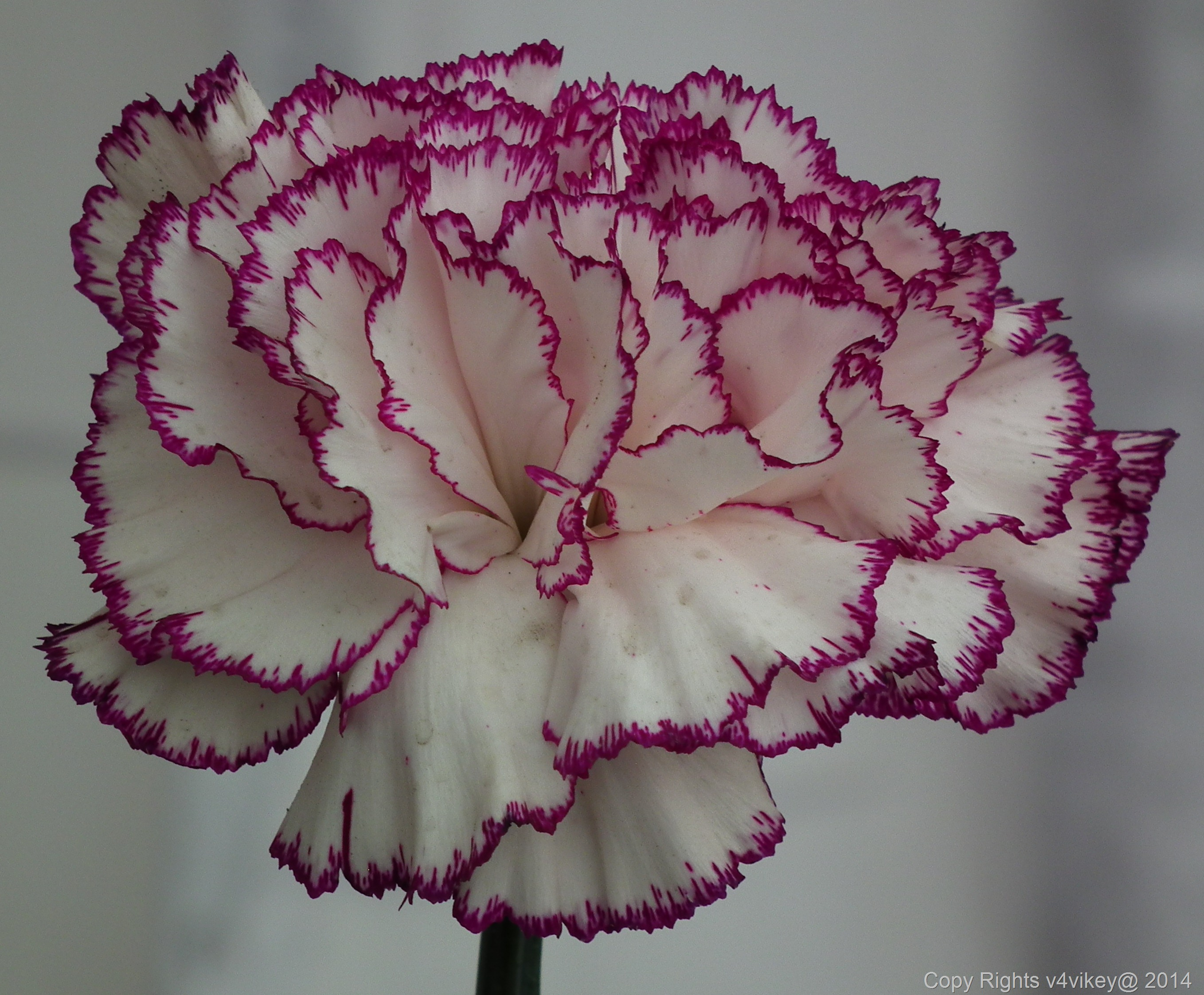 Carnation Flowers Wallpaper Tadka