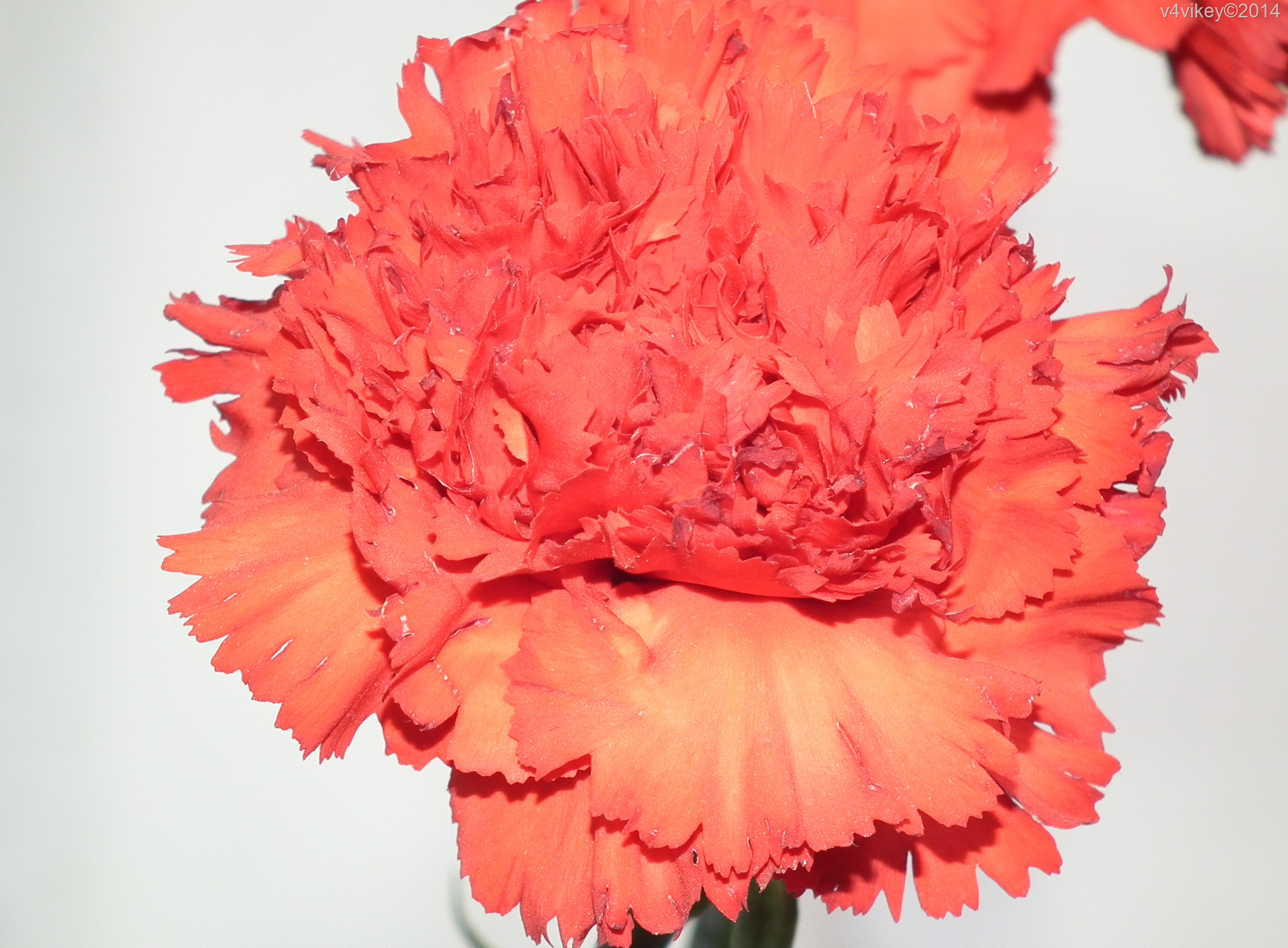 Carnation flower (1)