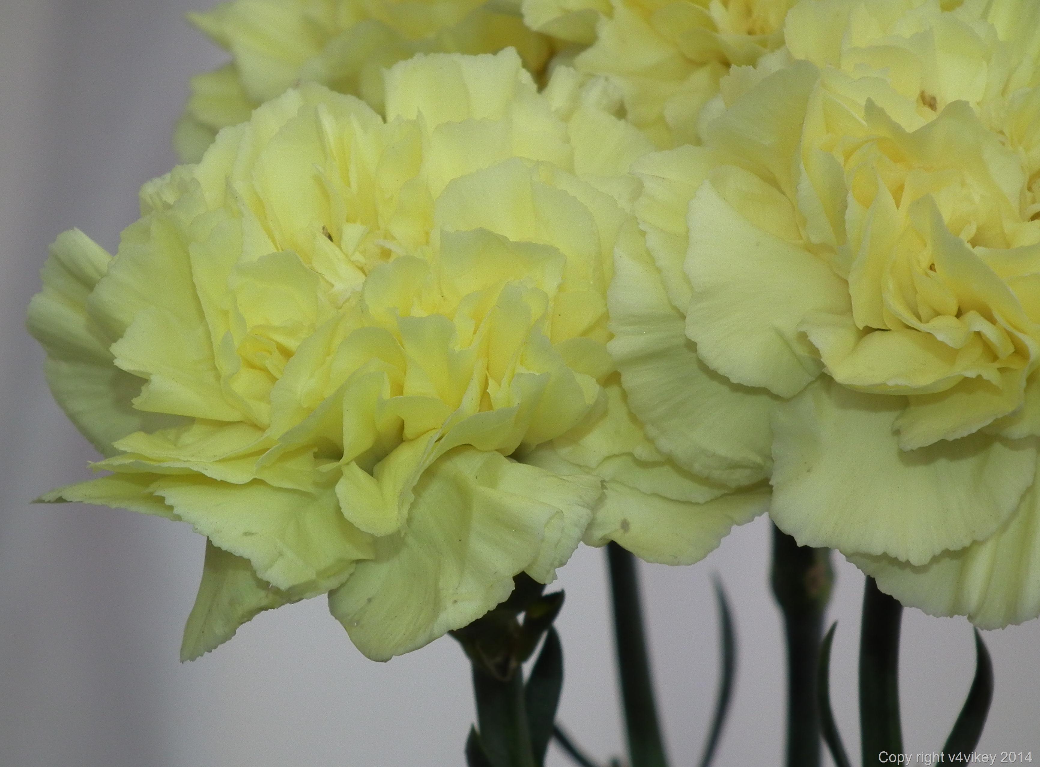 Carnation flower (2)