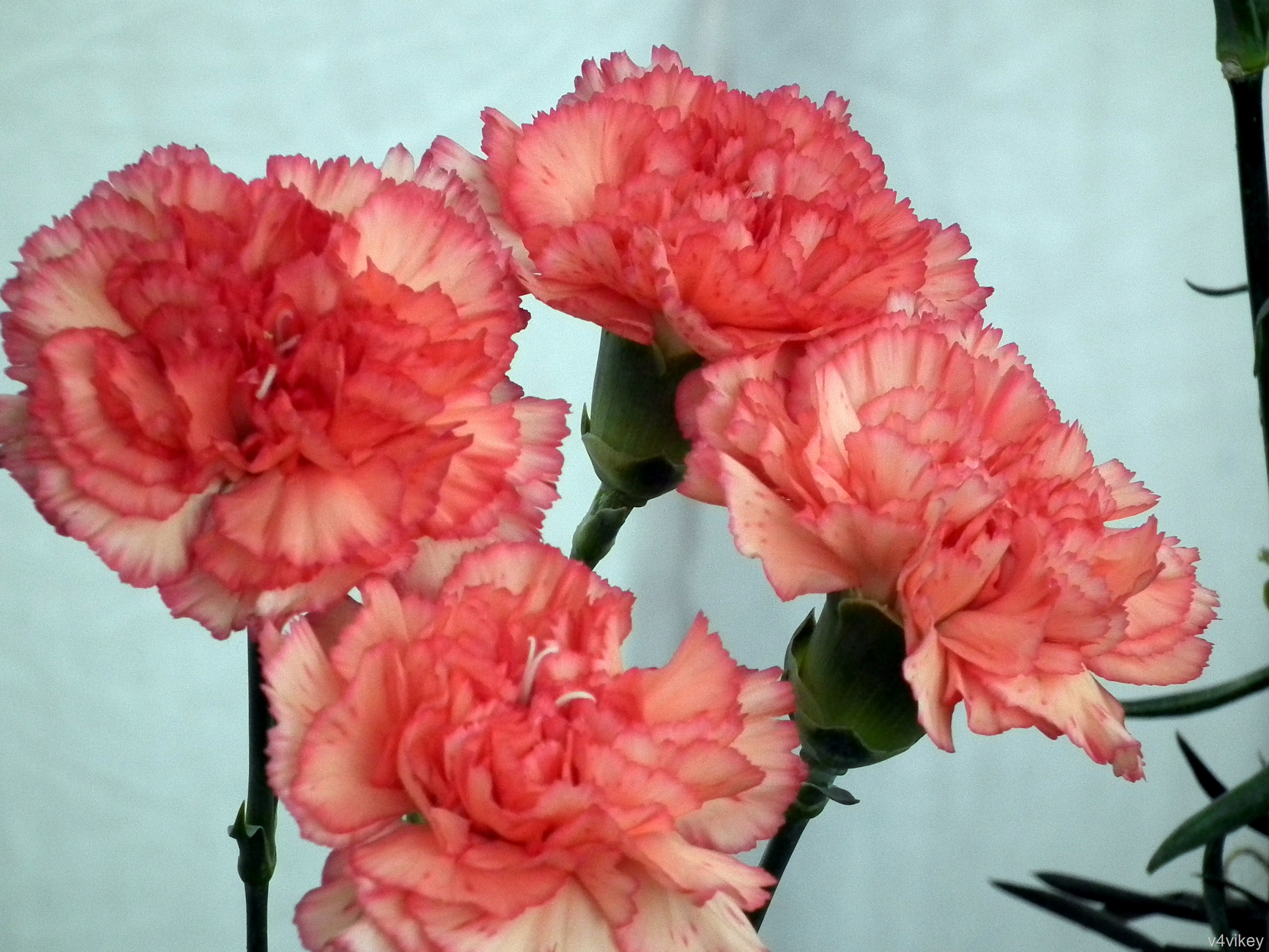 Apricot Color Carnation Flowers « Wallpaper Tadka