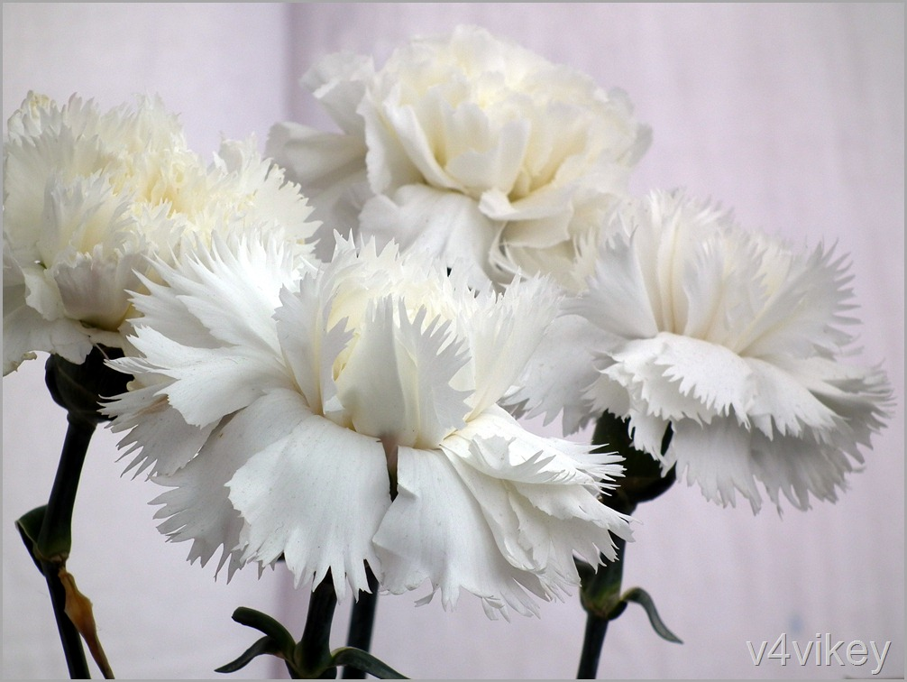 White Carnations Wallpaper