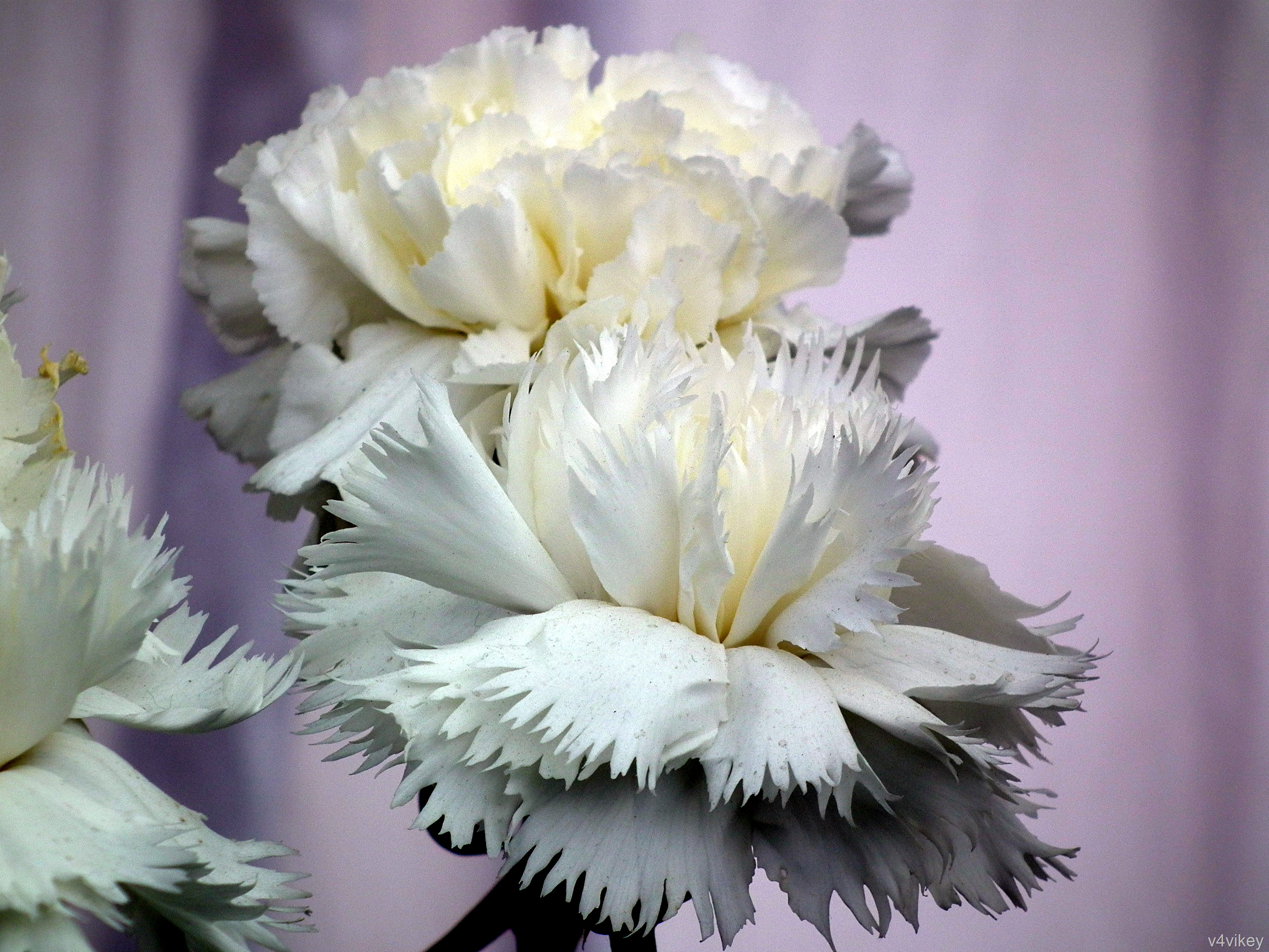 White Color Carnation Flowers Wallpaper Tadka