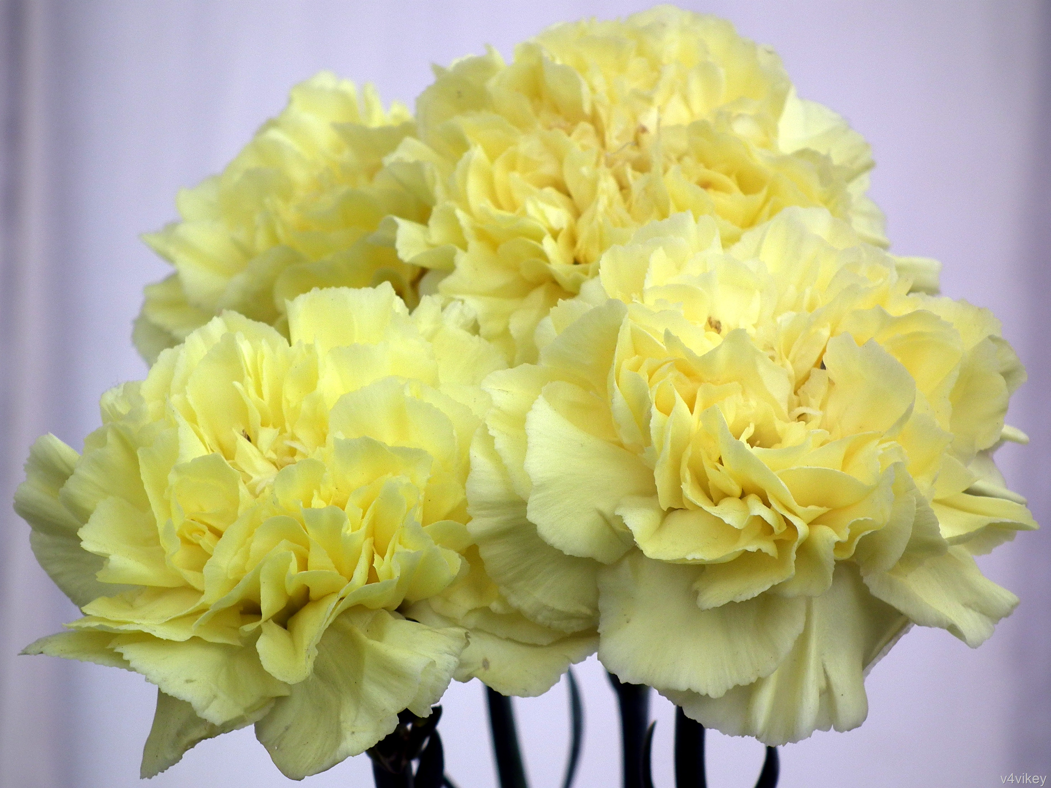 Light Yellow Carnations Wallpaper Tadka