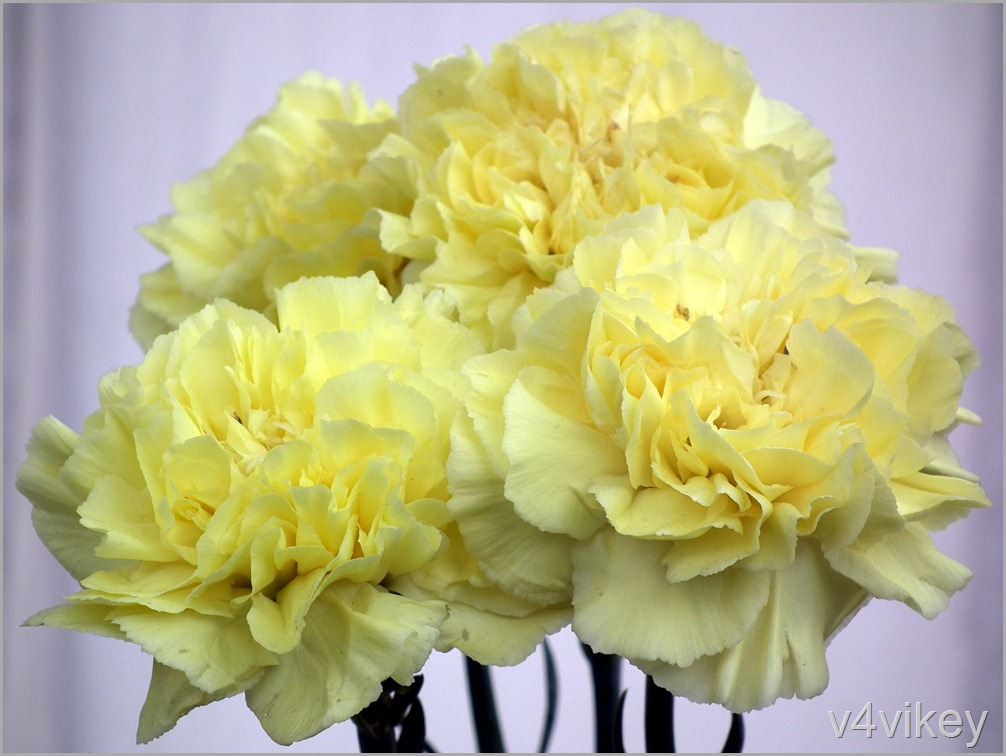 Lime Color Carnation Flowers Wallpaper