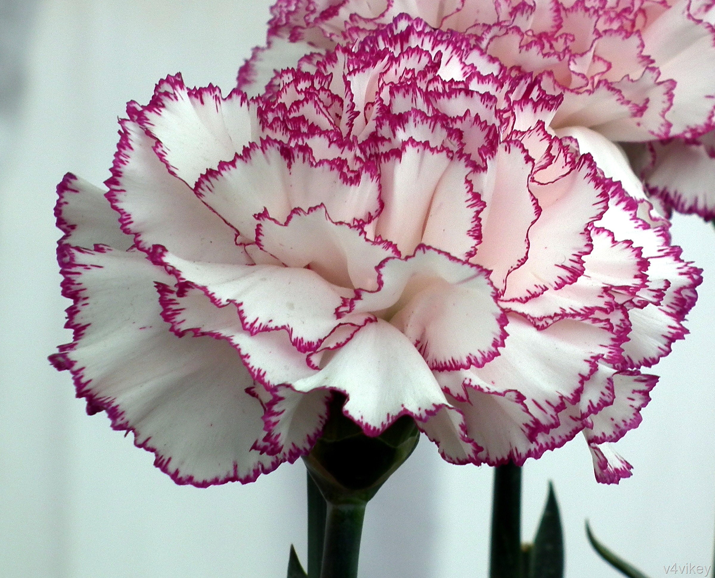 The gallery for Purple Carnation Flower