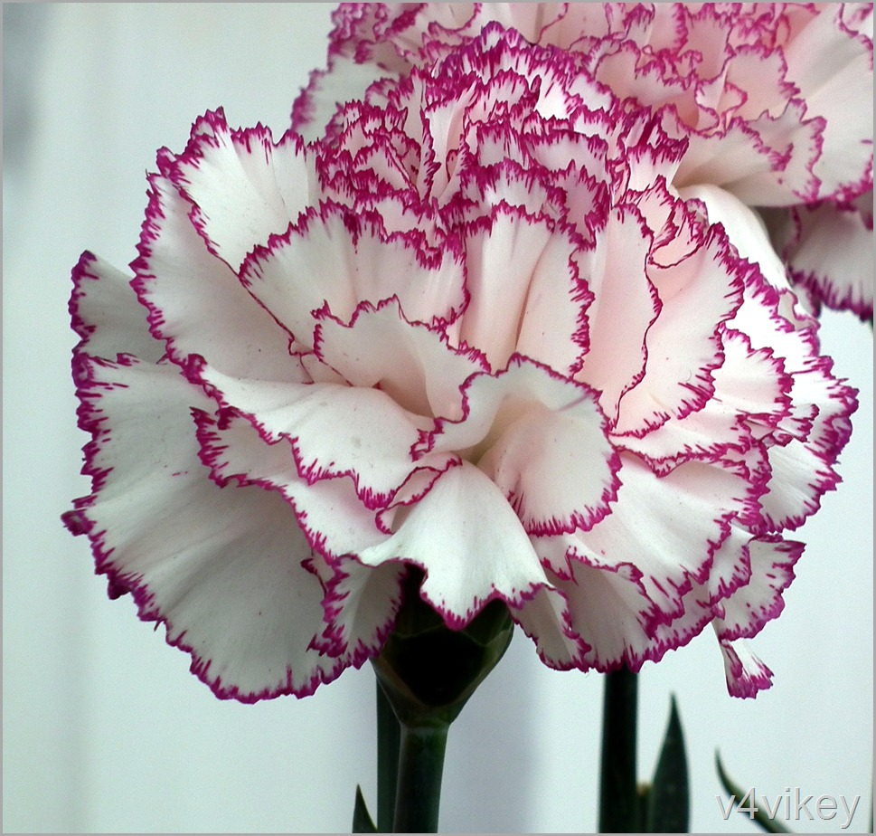 Large flowered Carnation Flower