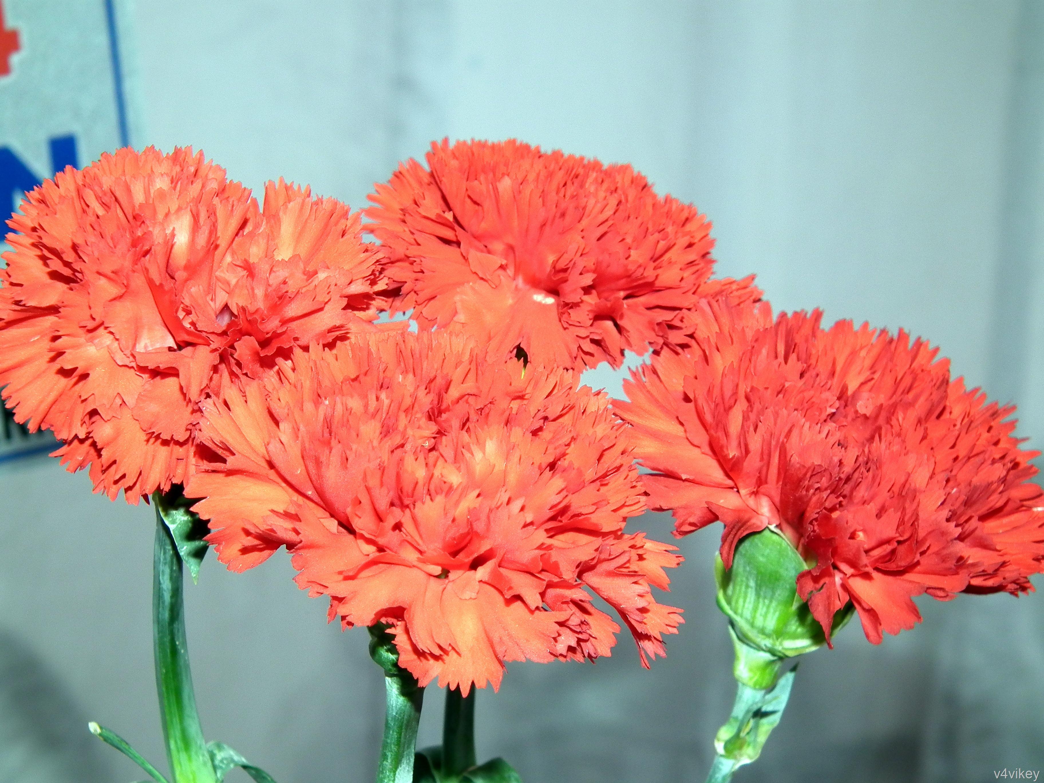 Red Carnation Flower Meaning « Wallpaper Tadka