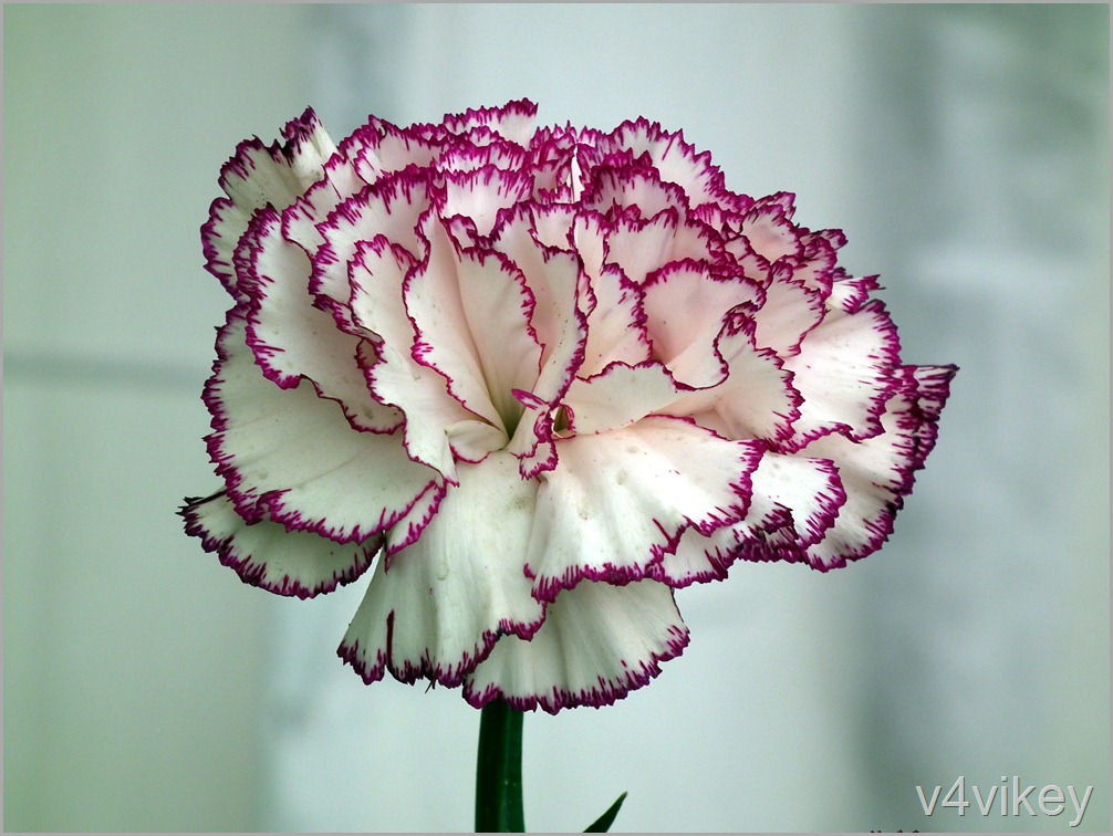 Carnation white flower with pink border