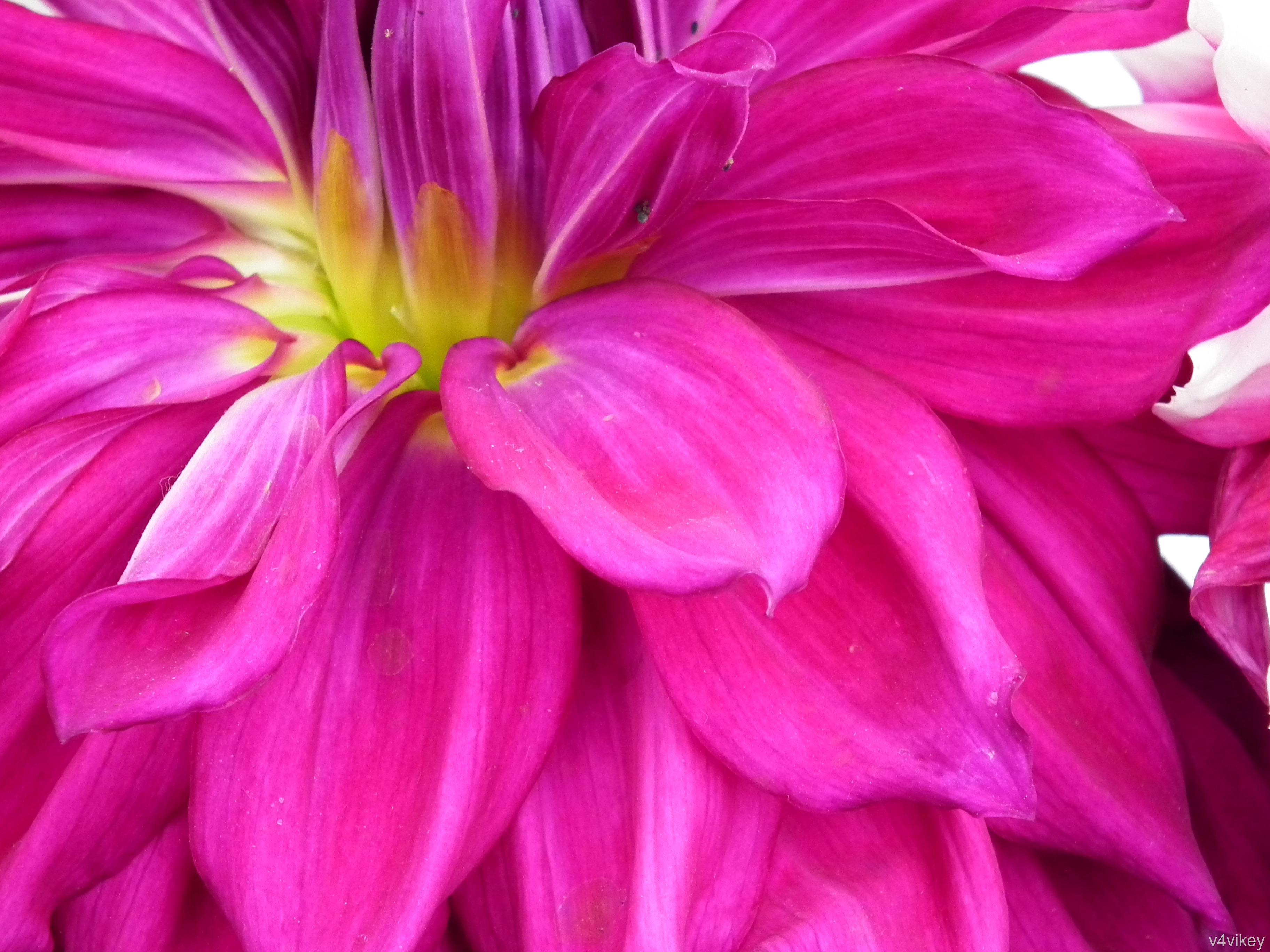Magenta dahlia flower wallpaper wallpaper tadka magenta dahlia flower wallpaper izmirmasajfo