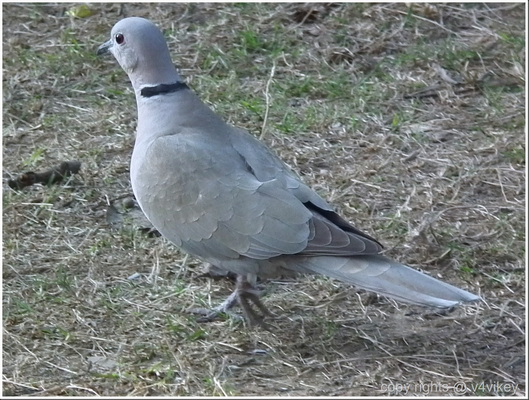 Indian Bird Dove