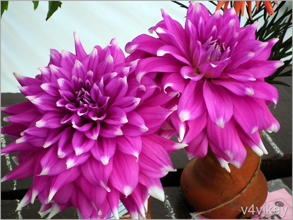 Decorative Dahlia Checkers
