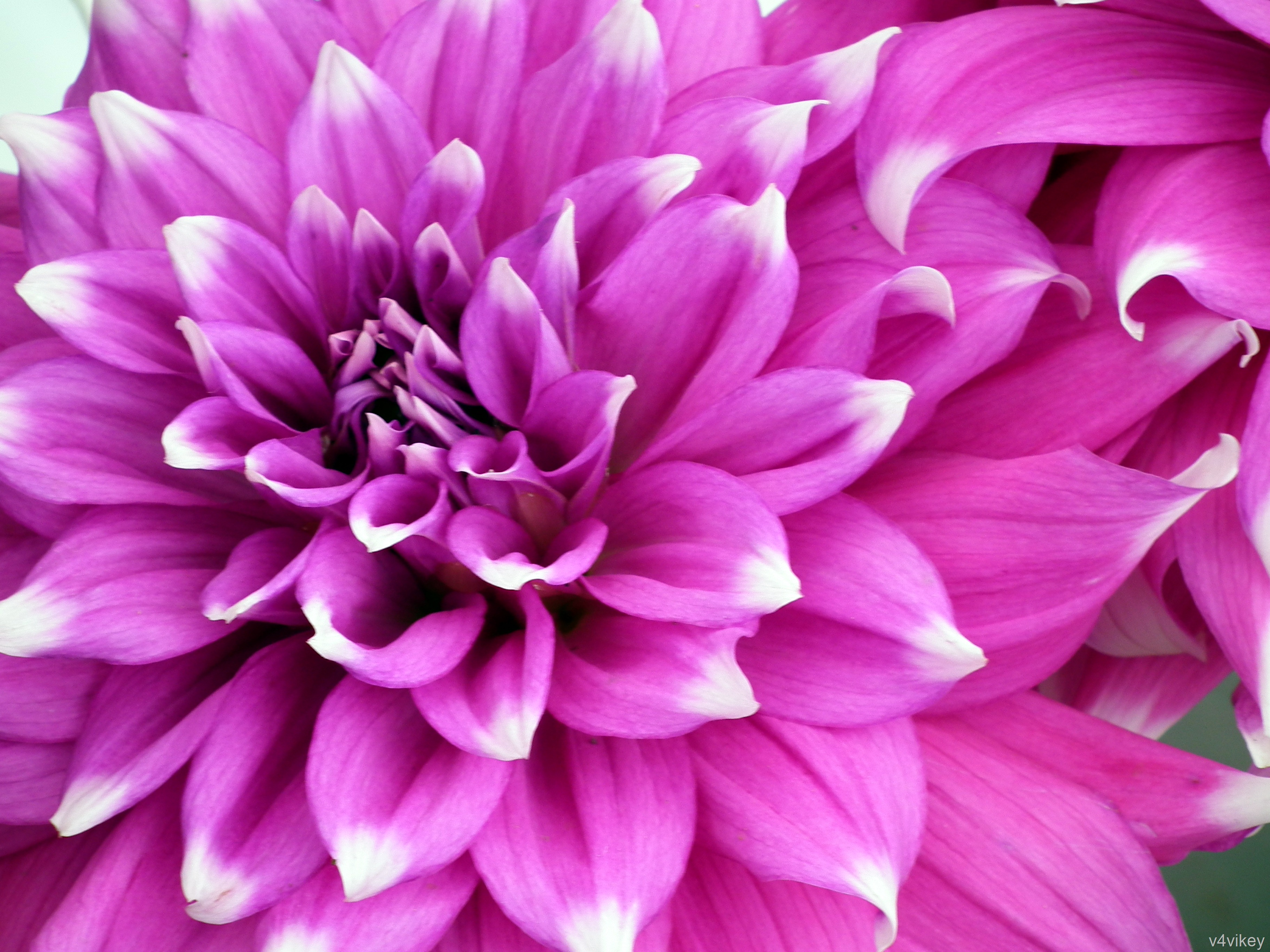 Close up deep pink dahlia checkers wallpaper tadka dahlia checkers izmirmasajfo