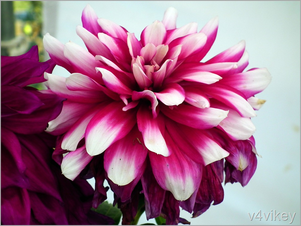 Beautiful Pink Dahlia Checkers