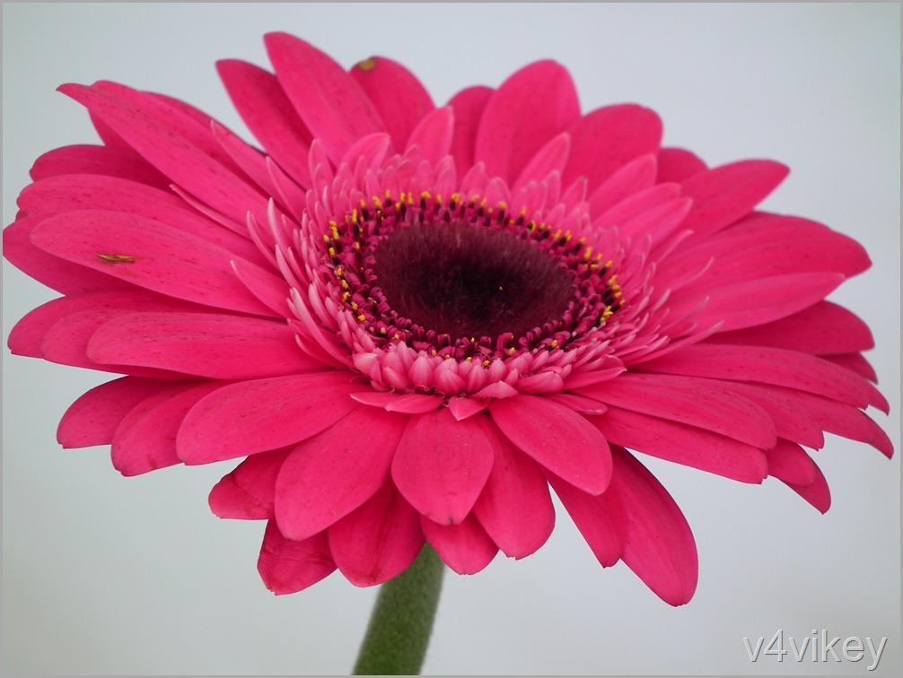 Types of daisy flower wallpaper tadka deep pink gerbera daisy flower mightylinksfo