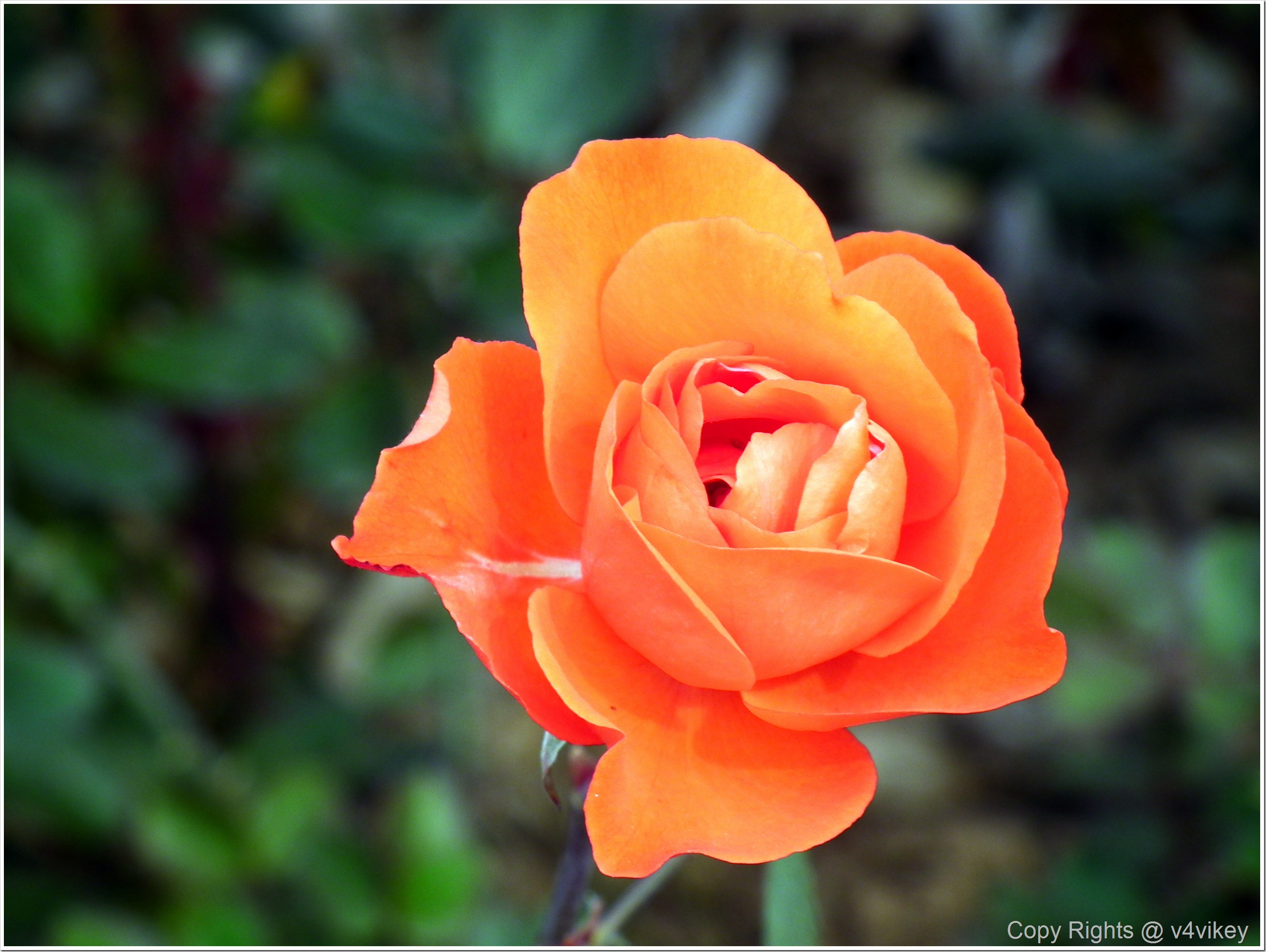Different type of beautiful rose flowers in different for What makes flowers different colors